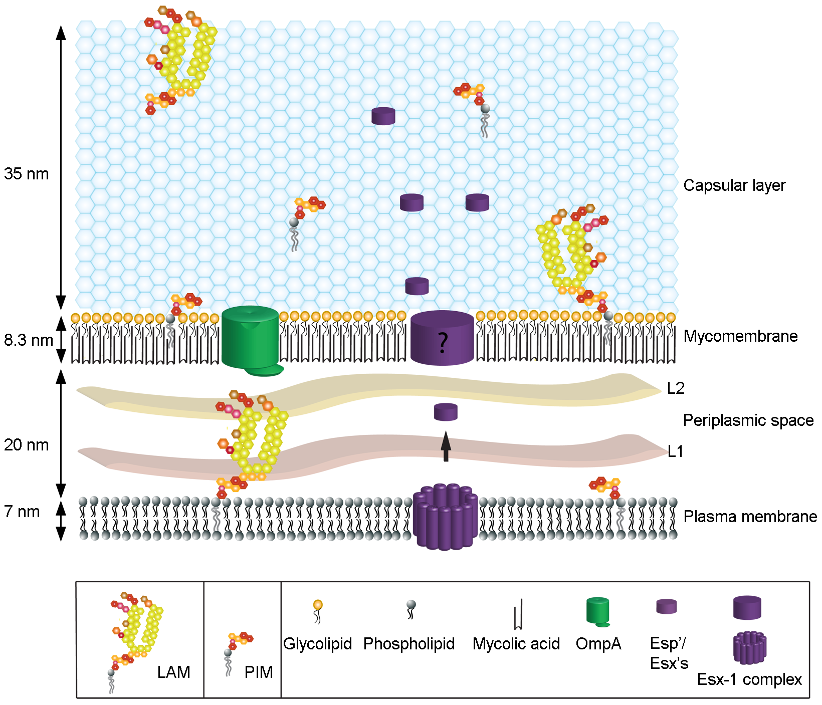 The spatial organization of the mycobacterial cell envelope exhibiting the capsule.