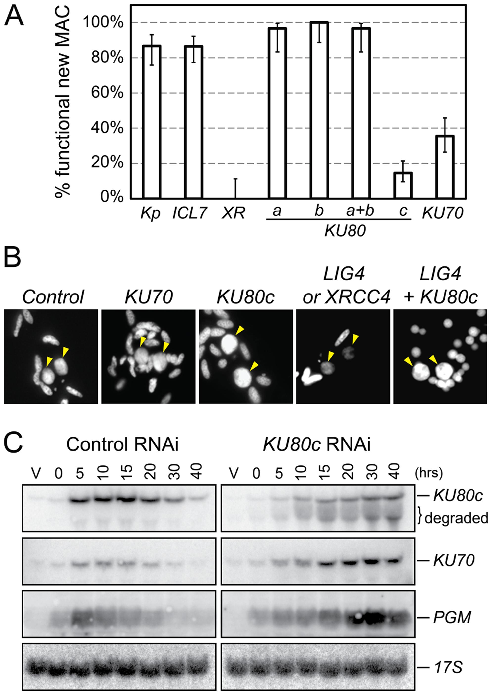 RNAi screen for essential <i>KU</i> genes during autogamy.