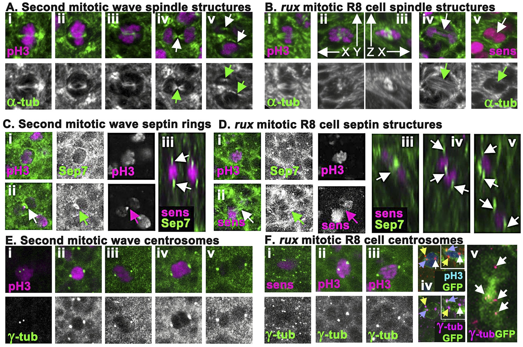 <i>rux</i> mutant R8 nuclei separate but exhibit late mitotic defects.
