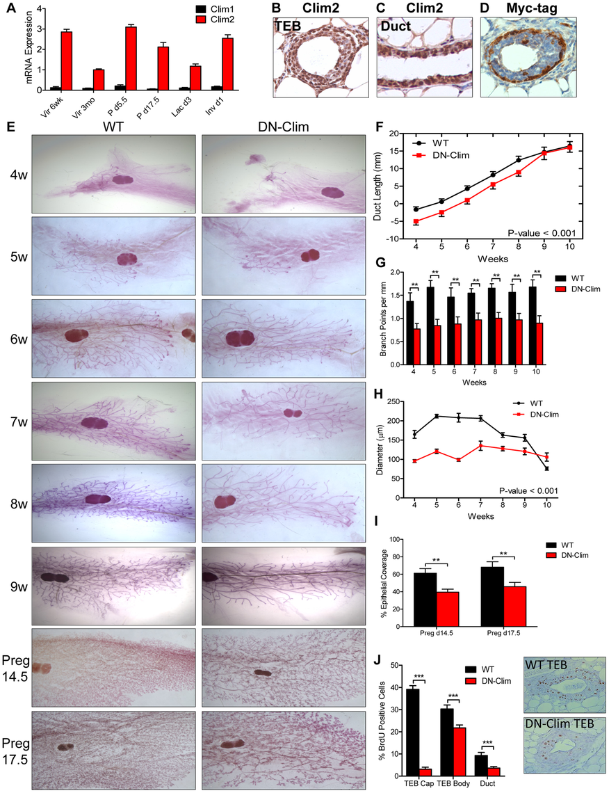 Clims promote branching morphogenesis and proliferation.