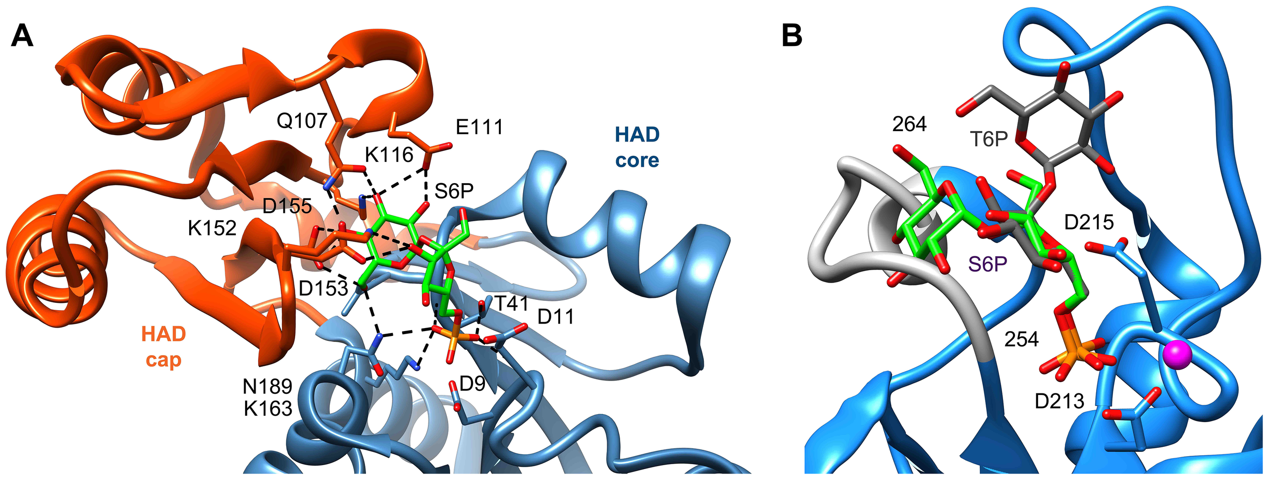 Comparison of ligand binding between sucrose-6-phosphate phosphatase and trehalose-6-phosphate phosphatase.