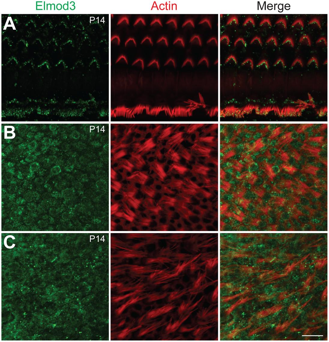 Immunolocalization of ELMOD3 in the mouse organ of Corti and vestibular sensory epithelia.