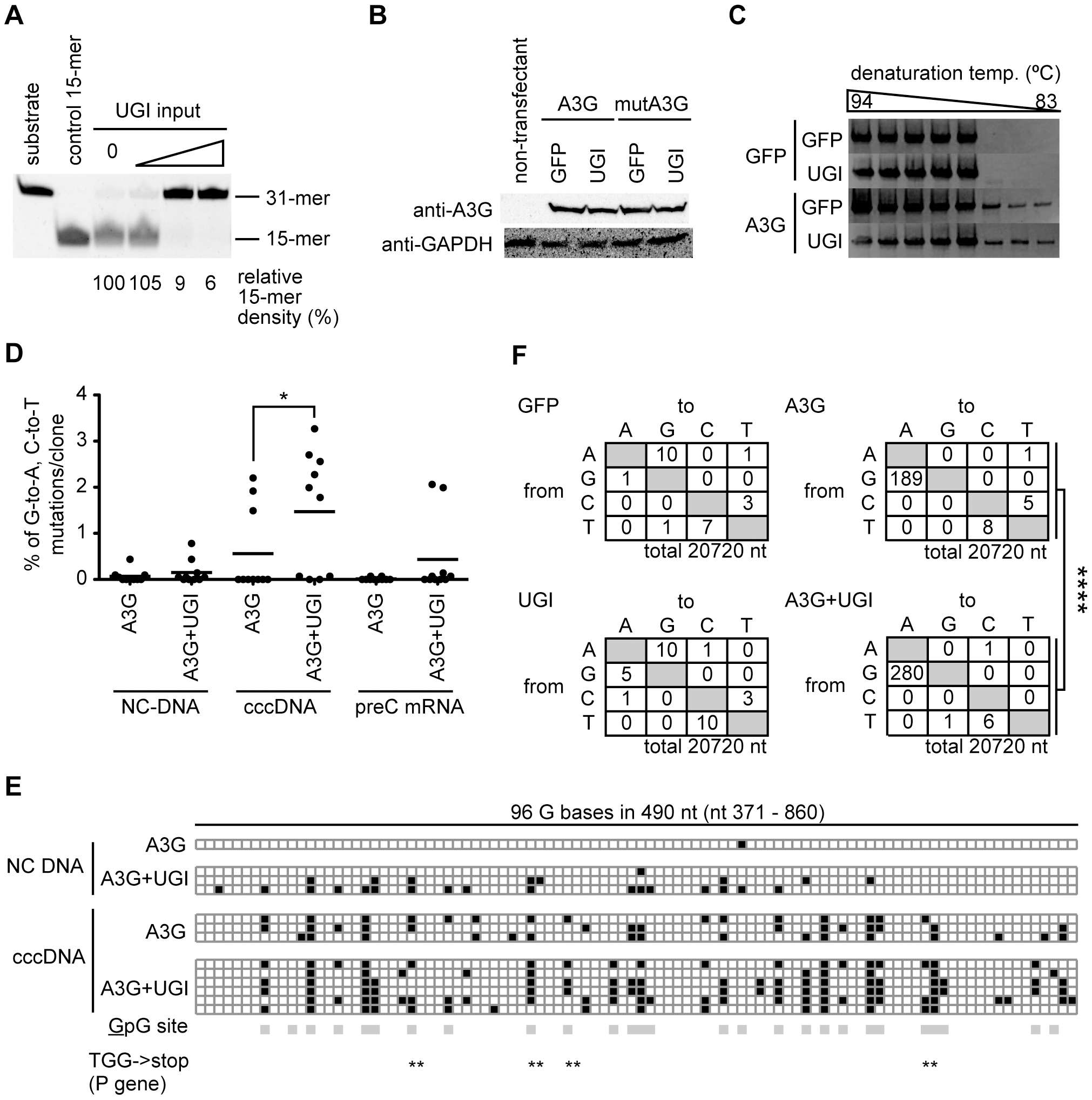 DHBV cccDNA was extensively hypermutated by A3G and repaired via the UNG-mediated BER pathway.