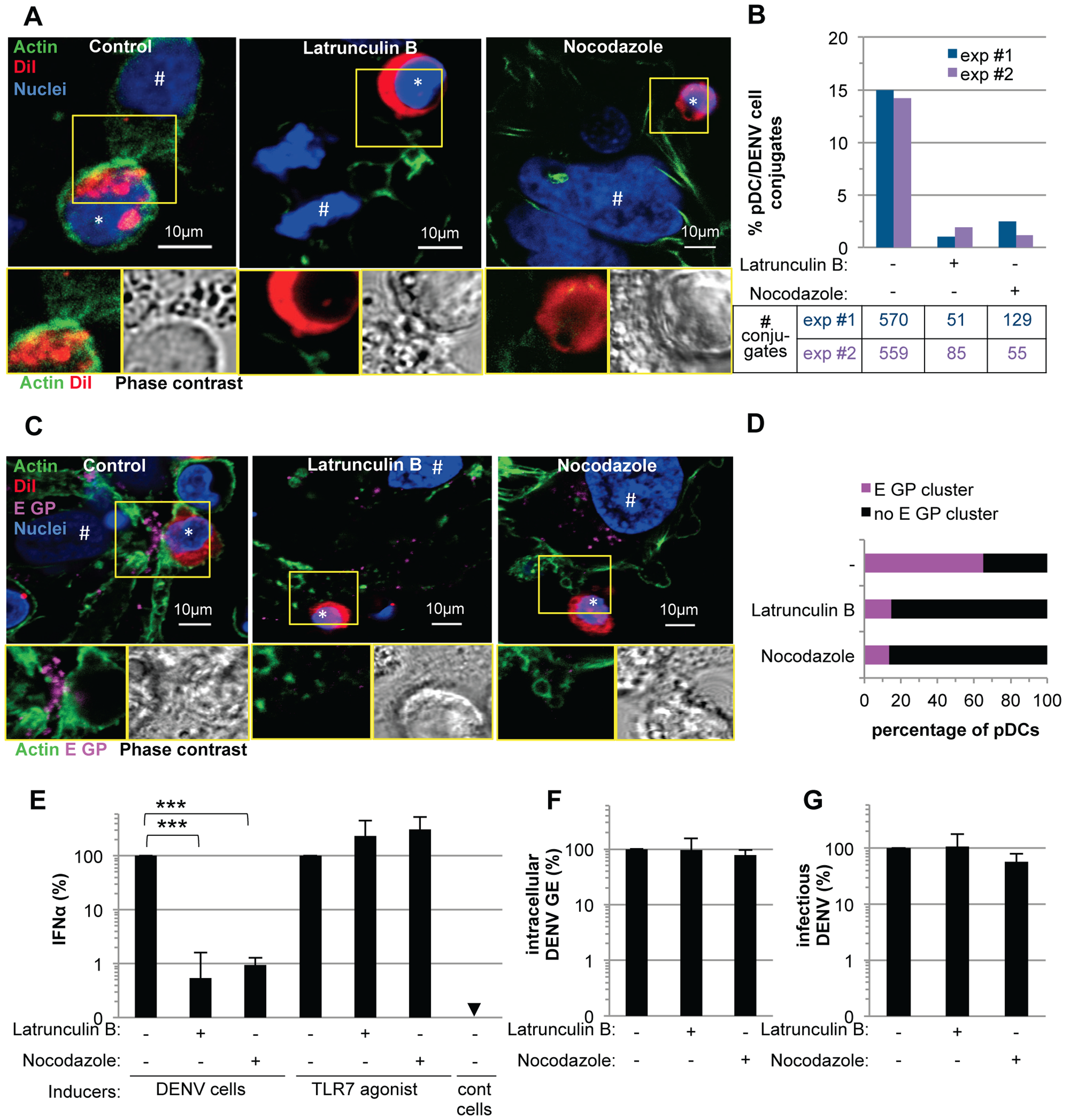 pDC IFNα production triggered by DENV infected cells is modulated by actin cytoskeleton network.