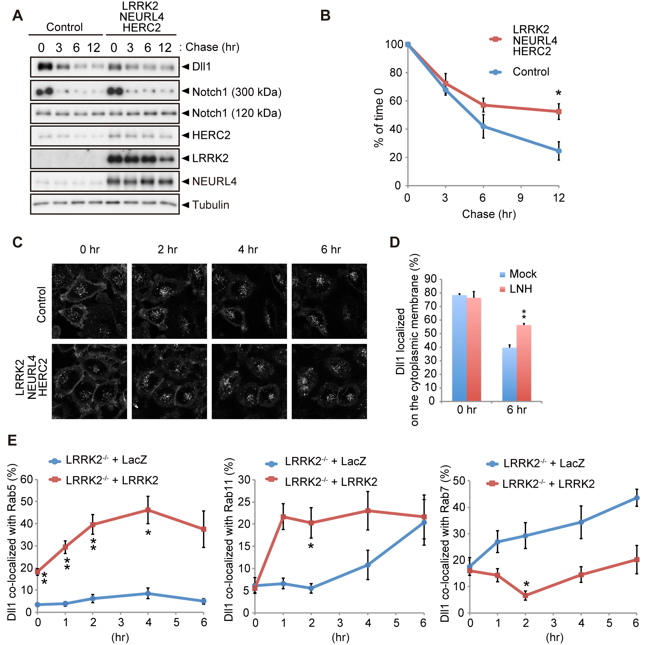 LRRK2 complex modulates Dll1 turnover in the endosomal pathway.