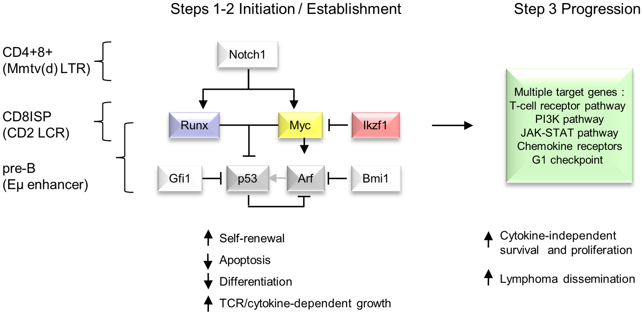 Hierarchical model of MoMLV-induced T-cell lymphomagenesis and preferred target genes in Myc transgenic systems.