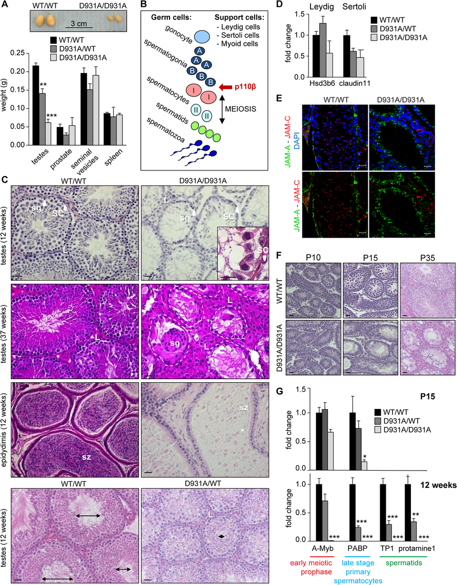 Systemic organismal inactivation of p110β reveals a role for p110β in SCs.
