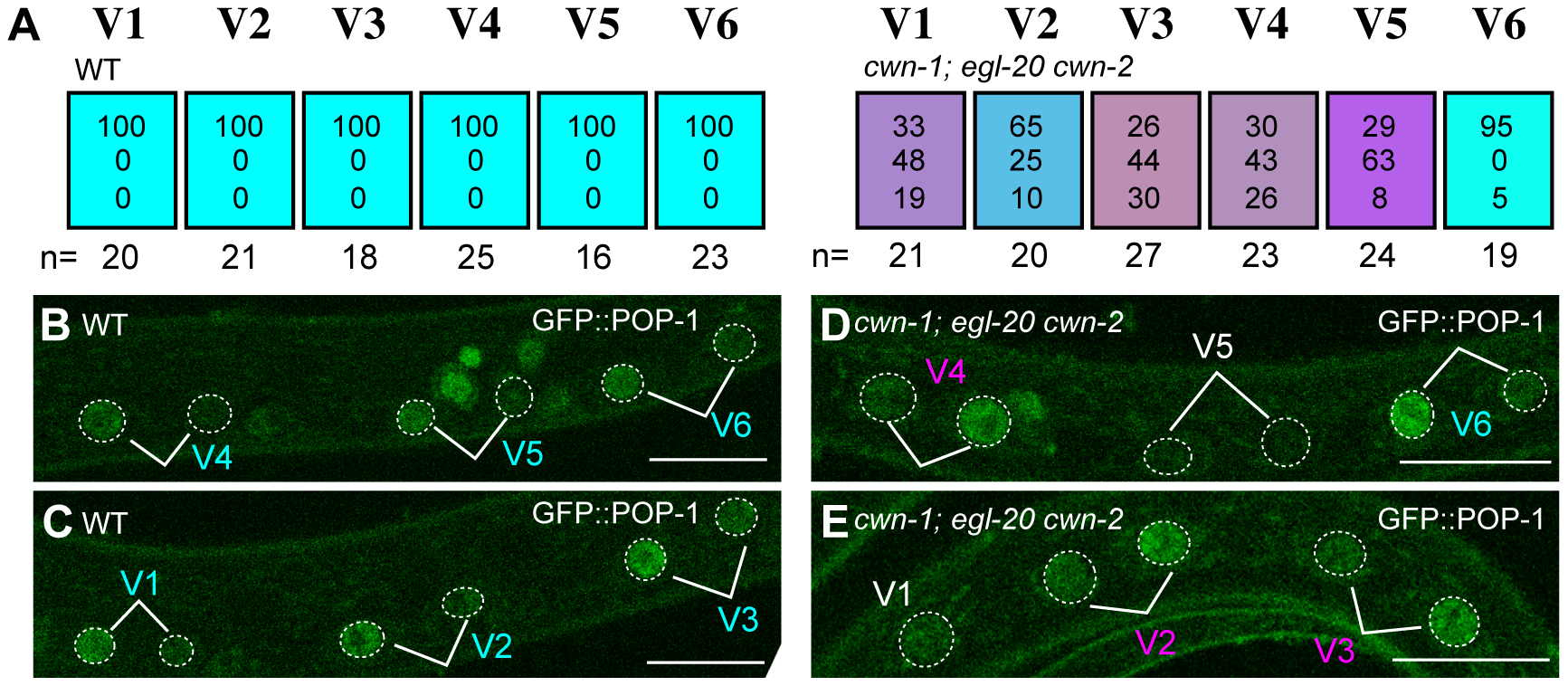 Wnts regulate the Wnt/ß-catenin asymmetry pathway in seam cells.