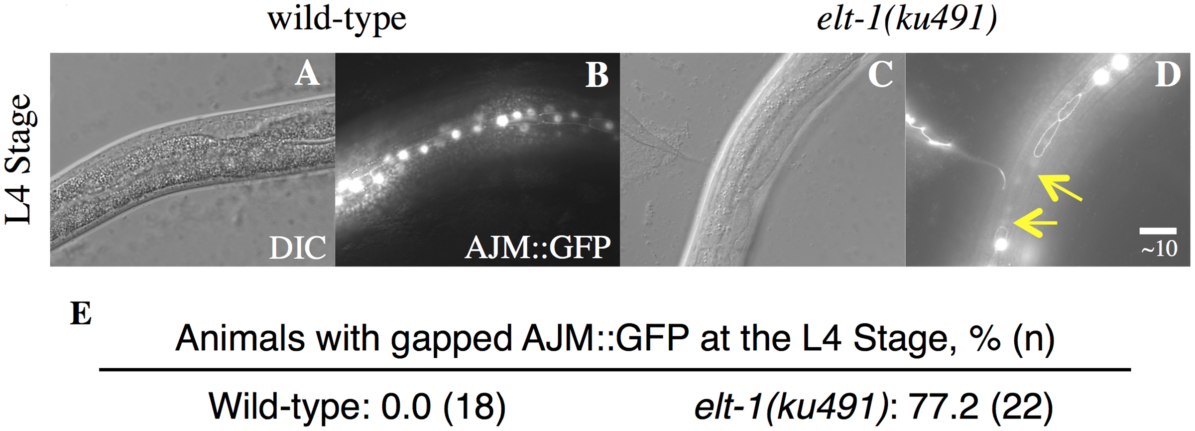 <i>elt-1/(ku491)</i> mutant animals have defective adult alae formation.
