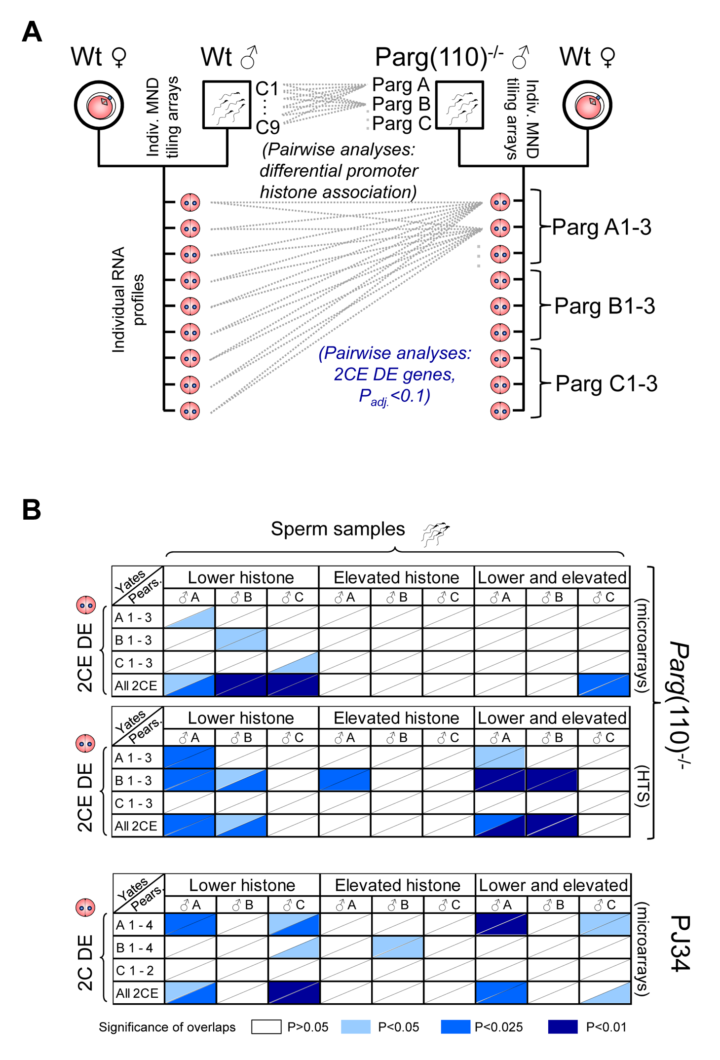 Differential sperm histone association of genes in <i>Parg</i>(110)<sup>−/−</sup> and PJ34-treated males is significantly associated with differential expression of these genes in offspring 2-cell embryos.