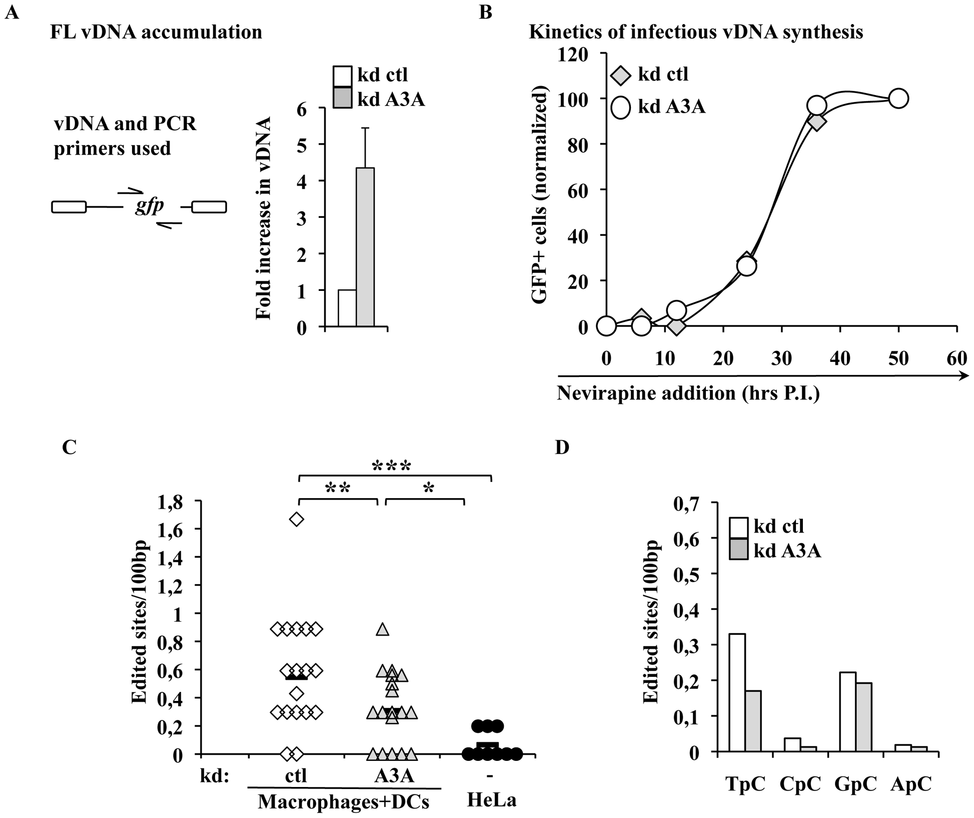 A3A impacts the accumulation of vDNA, but not the kinetics of reverse transcription of infectious vDNA and modulates the levels of TC editing of vDNA produced during the infection of myeloid cells.