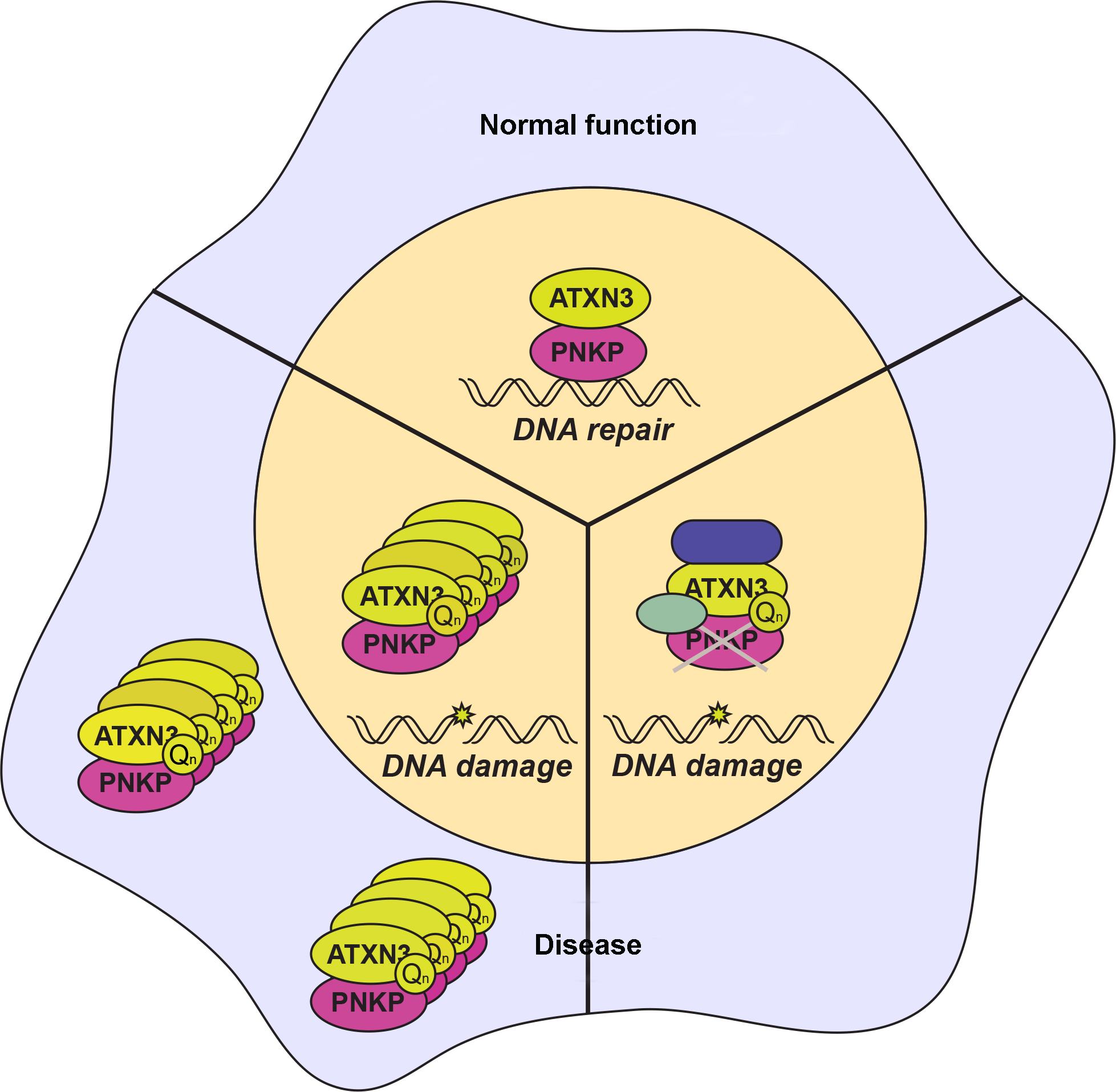 Interaction of ataxin-3 and PNKP in normal and disease states.
