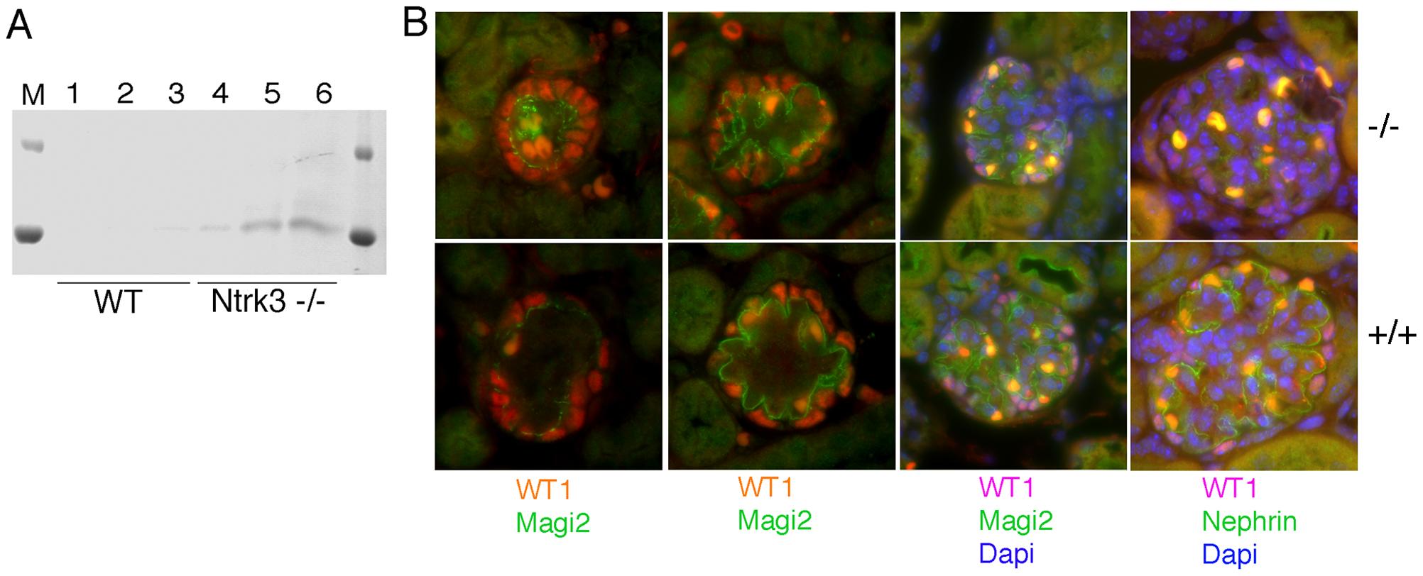 Analysis of Ntrk3 Mutant Kidneys.