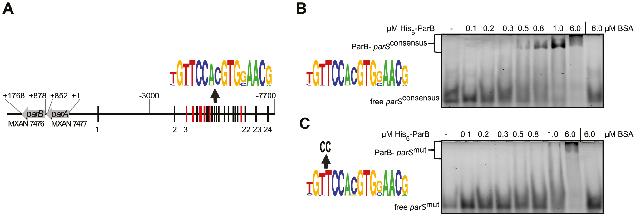 The <i>M. xanthus</i> genome encodes a <i>parABS</i> locus and contains 24 <i>parS</i> sequences in the <i>ori</i> proximal region.
