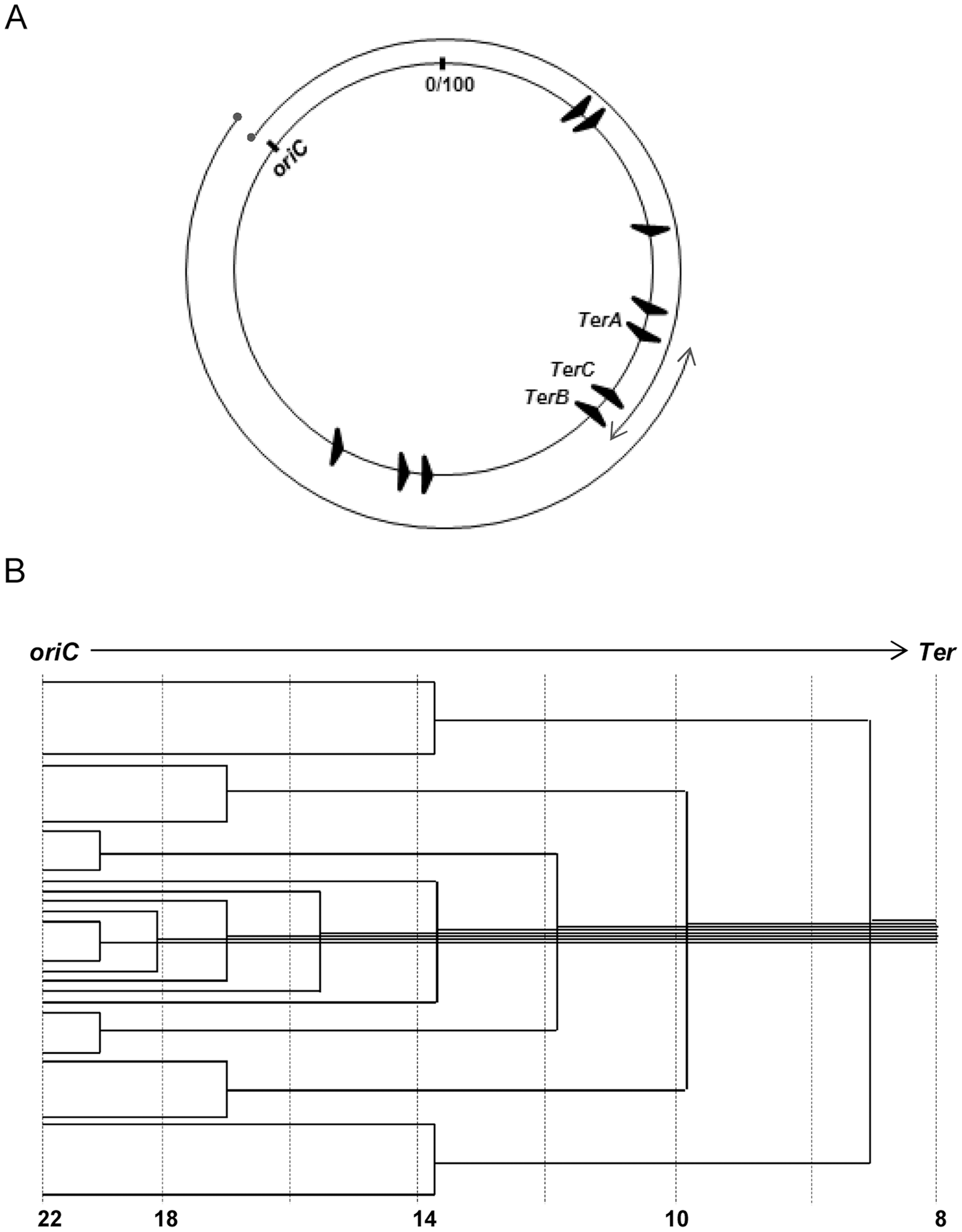 Features of <i>oriC</i>-initiated replication in <i>E. coli</i>.