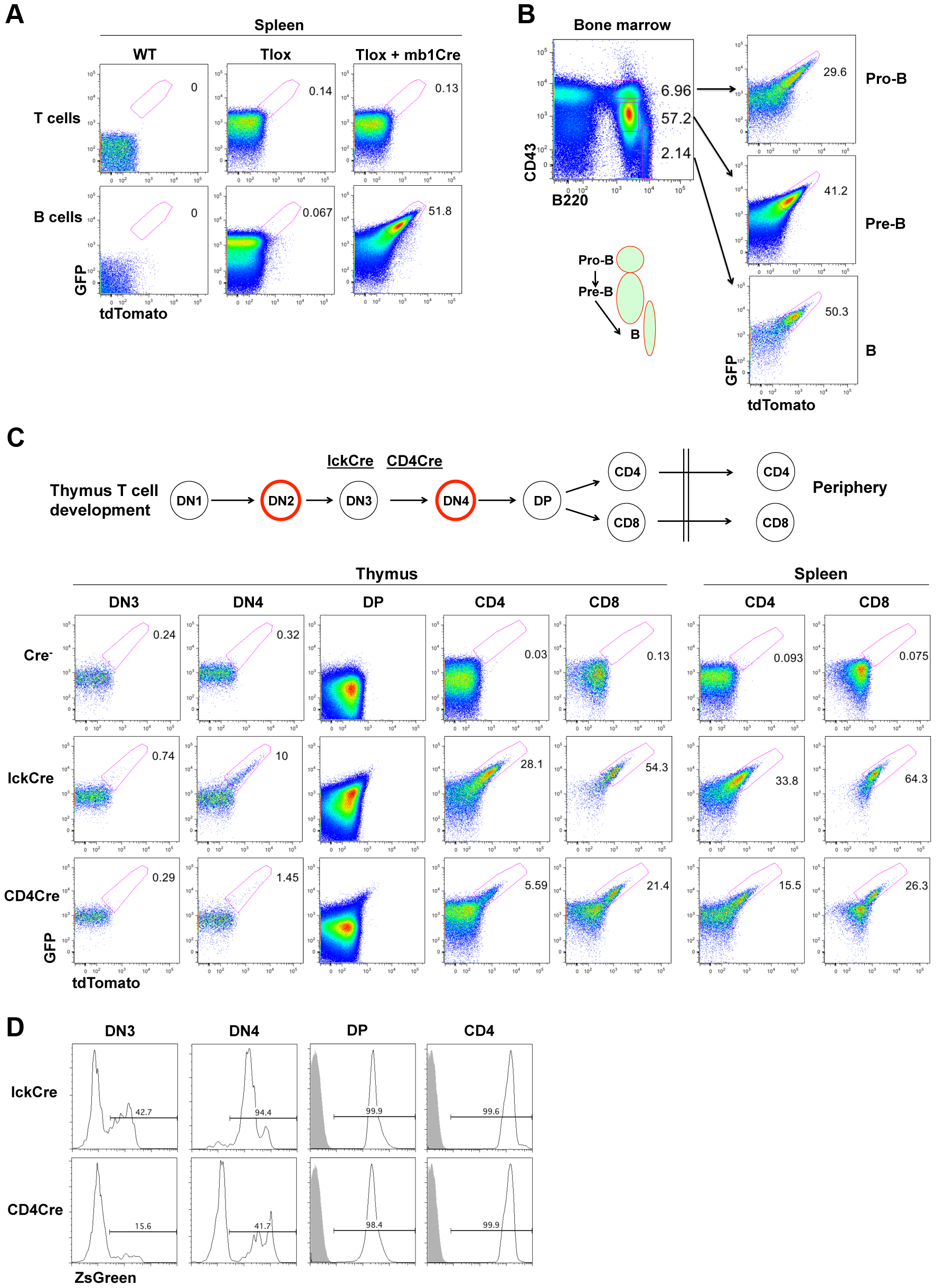 Tlox tracking lymphocyte proliferation <i>in vivo</i>.