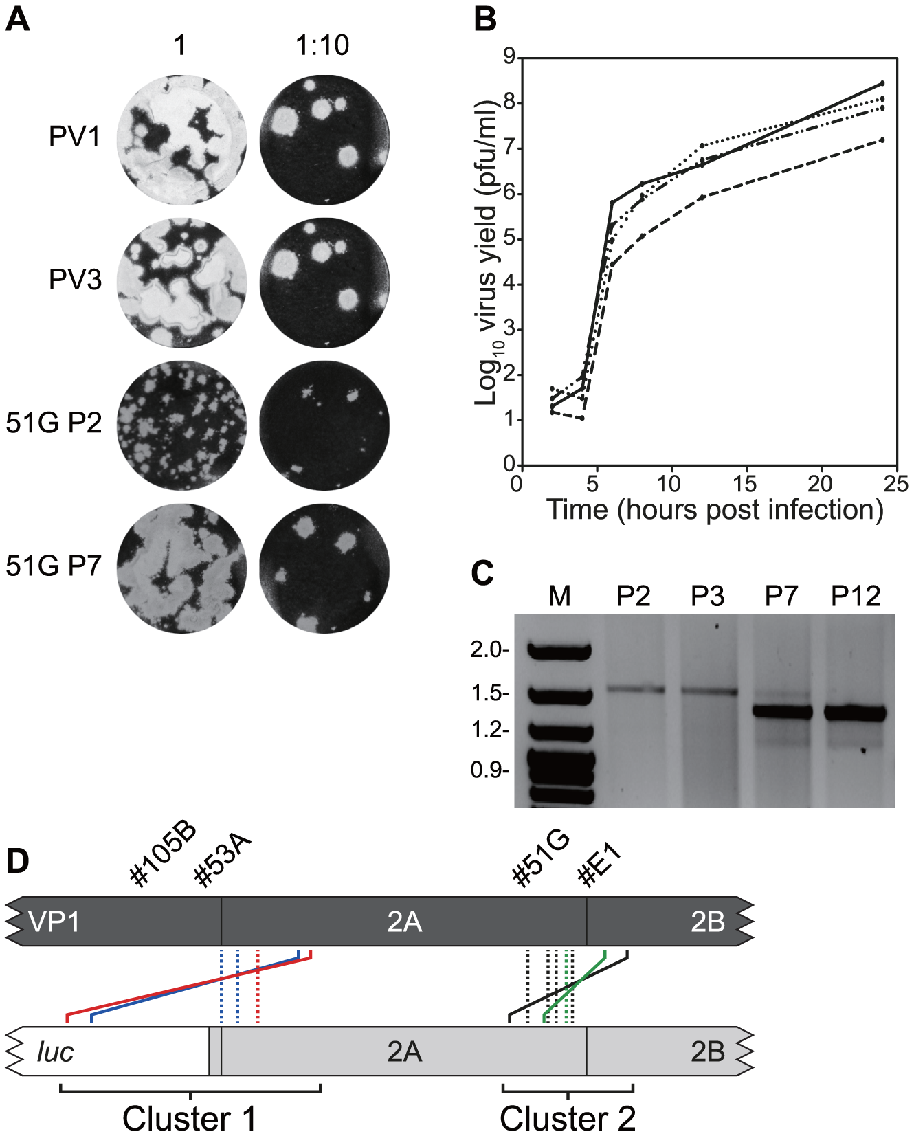 Serial passage of recombinants with imprecise junctions generate viruses with increased fitness bearing precise junctions.