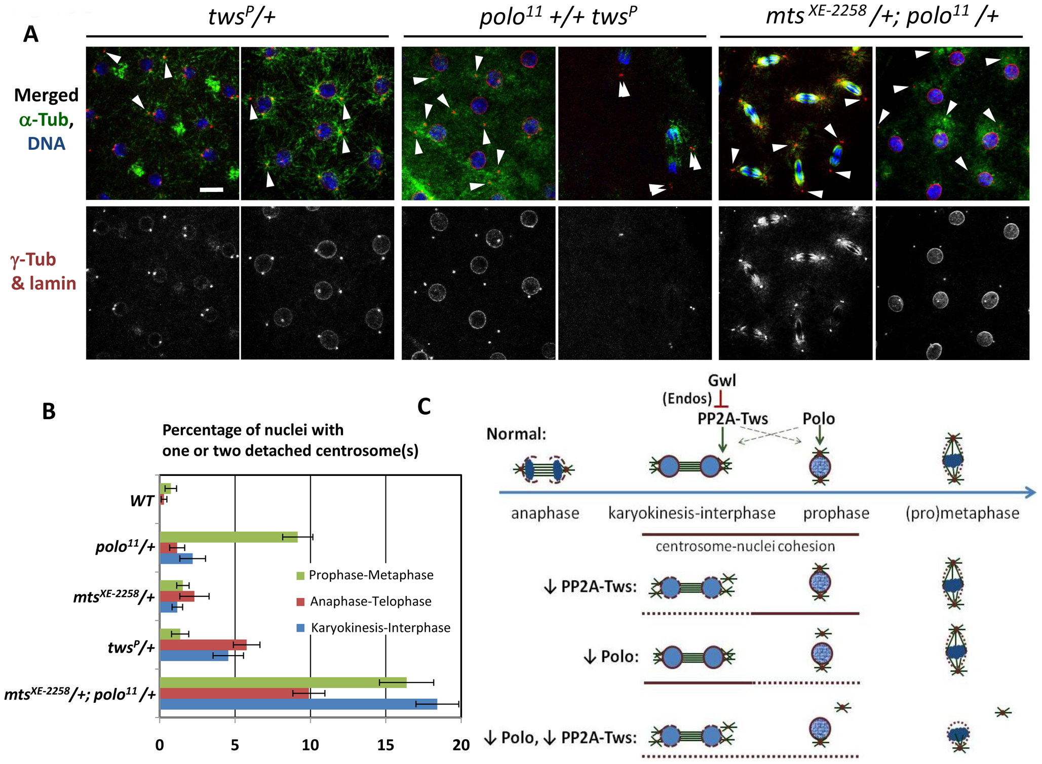 PP2A-Tws collaborates with Polo to promote cell cycle progression and centrosome cohesion to nuclei.