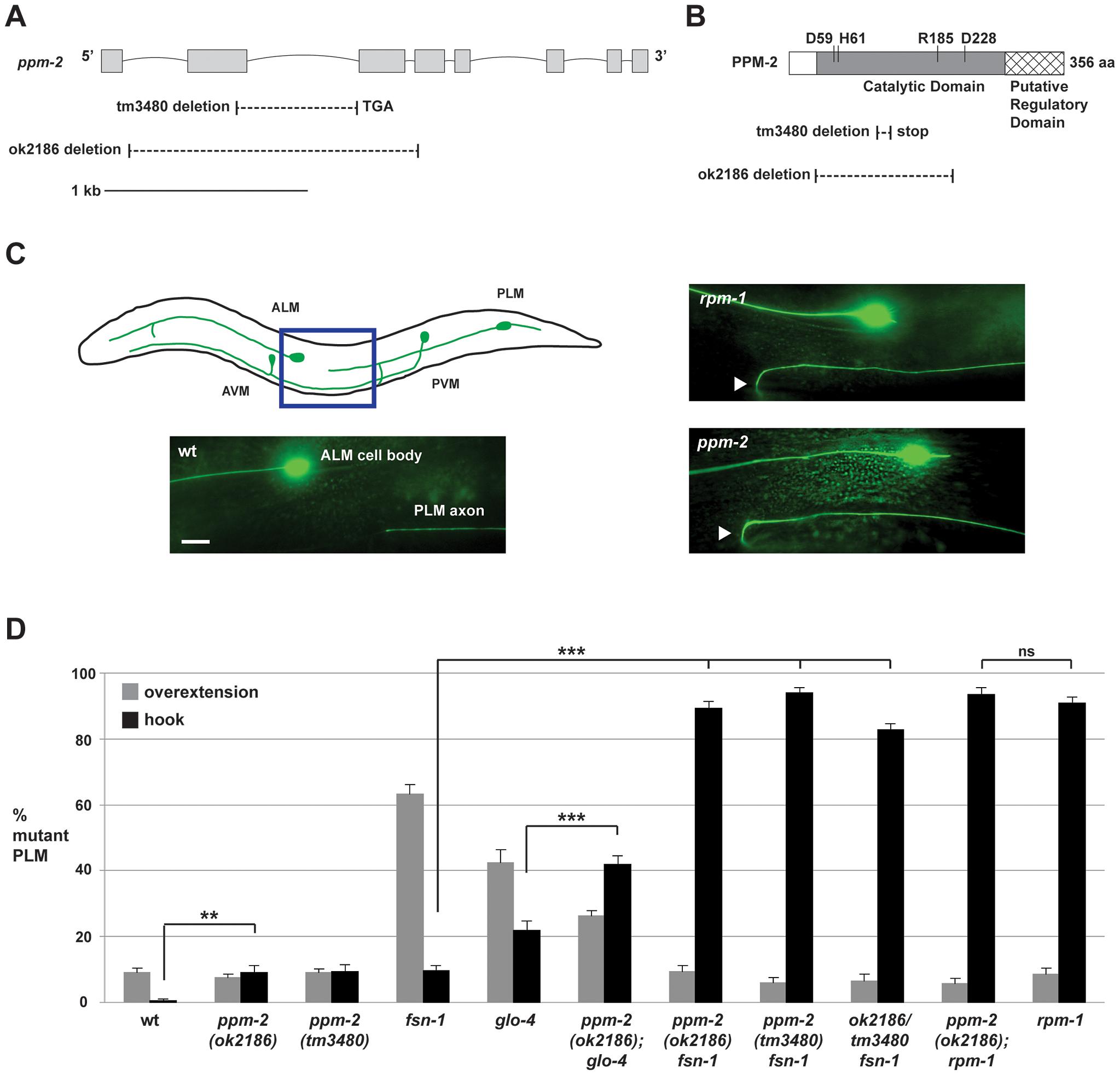 <i>ppm-2</i> regulates axon termination of PLM neurons.