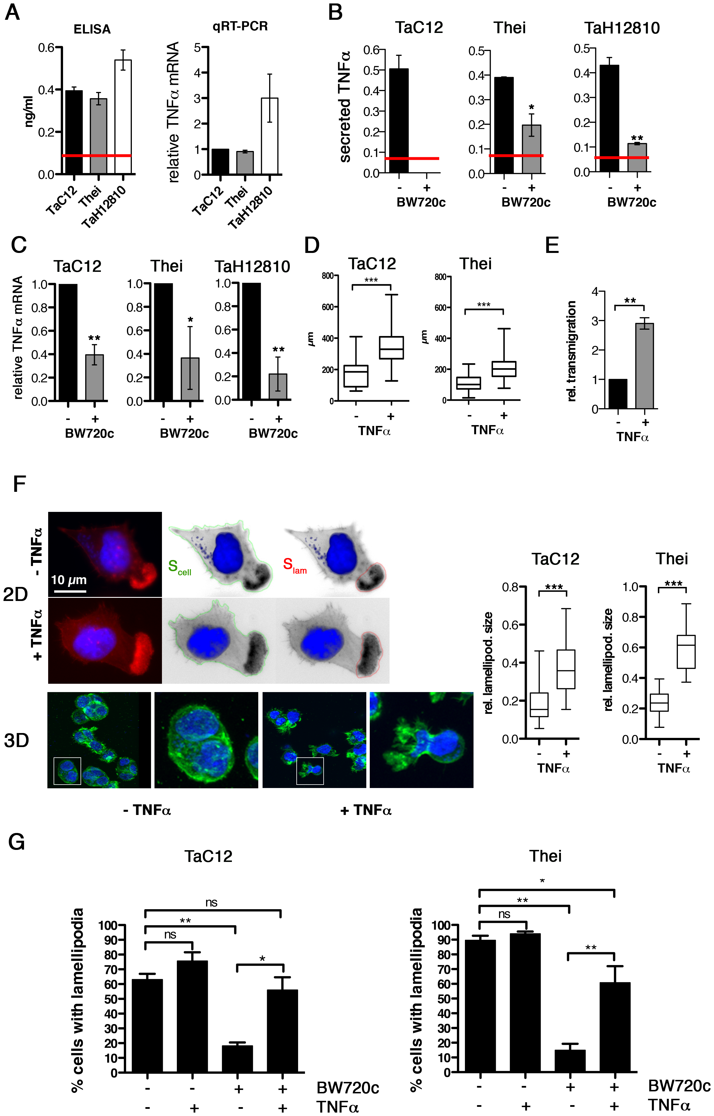 TNFα promotes motility and lamellipodia dynamics of infected macrophages.