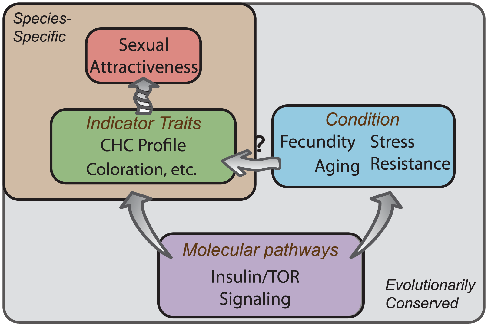 Conserved molecular pathways underlie attractive characteristics as honest indicators of condition.