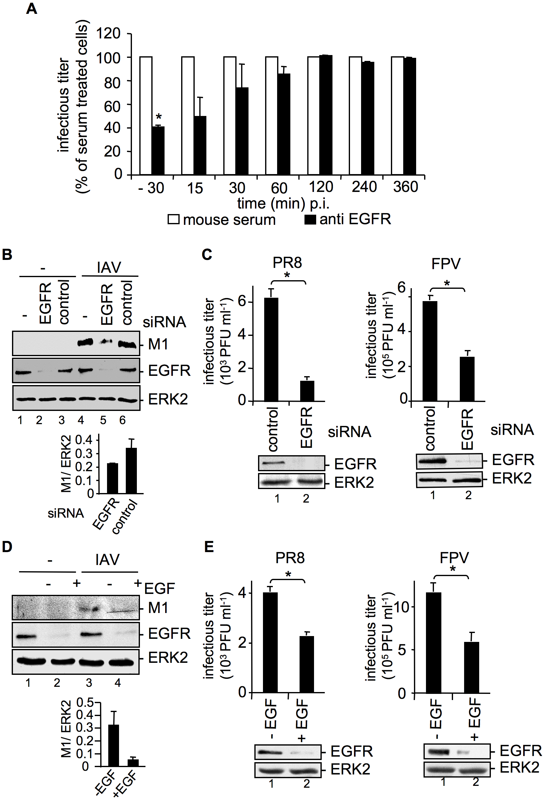 EGFR knock-down impairs efficient uptake of IAV into A549 cells.