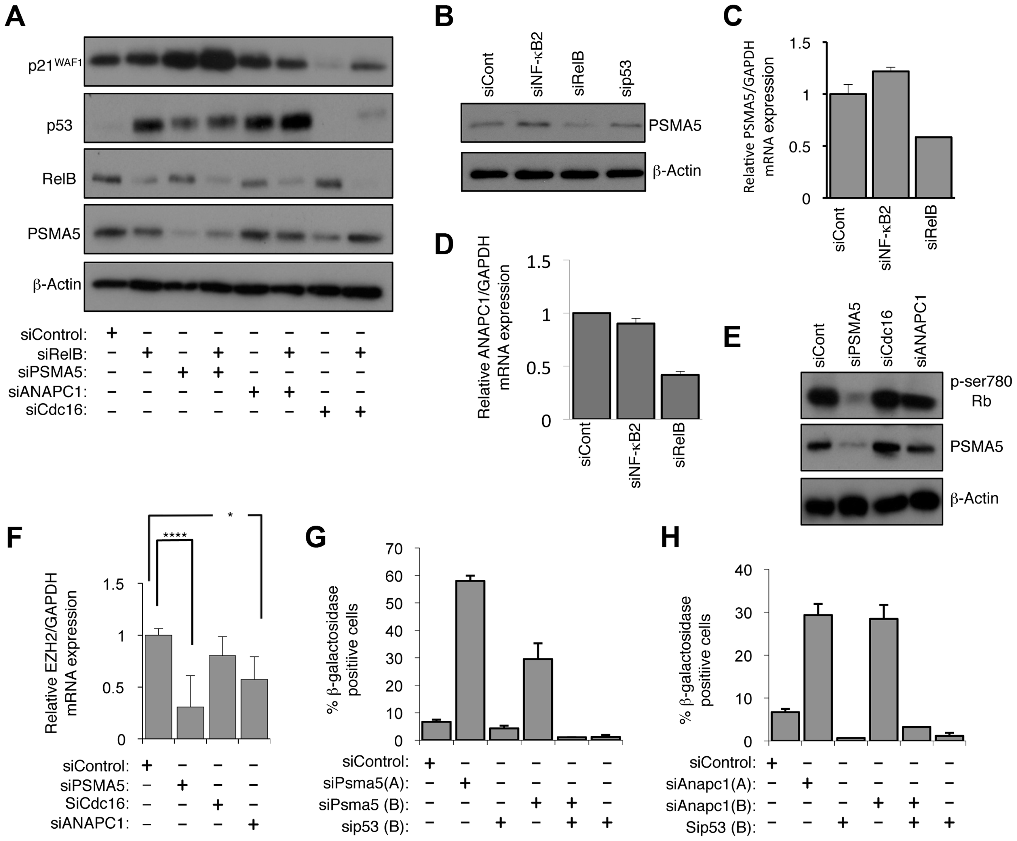 RelB controls Rb phosphorylation, EZH2 expression and senescence through PSMA5 induced regulation of p21<sup>WAF1</sup> and p53 protein stability.
