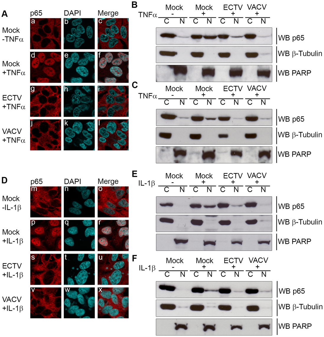 ECTV infected cells inhibit p65 nuclear translocation.