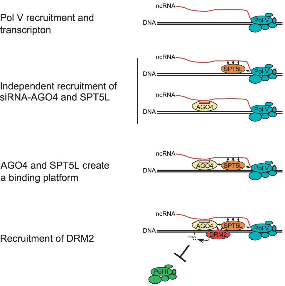 Model of SPT5L involvement in the recruitment of chromatin modifying enzymes.