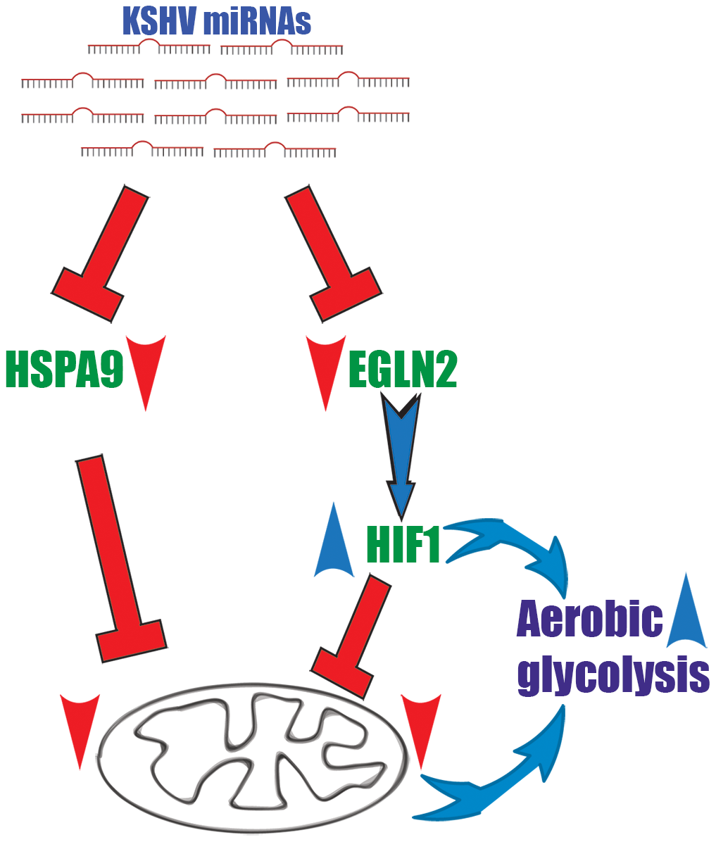 A two-armed mechanism model by which KSHV changes cellular energy metabolism.