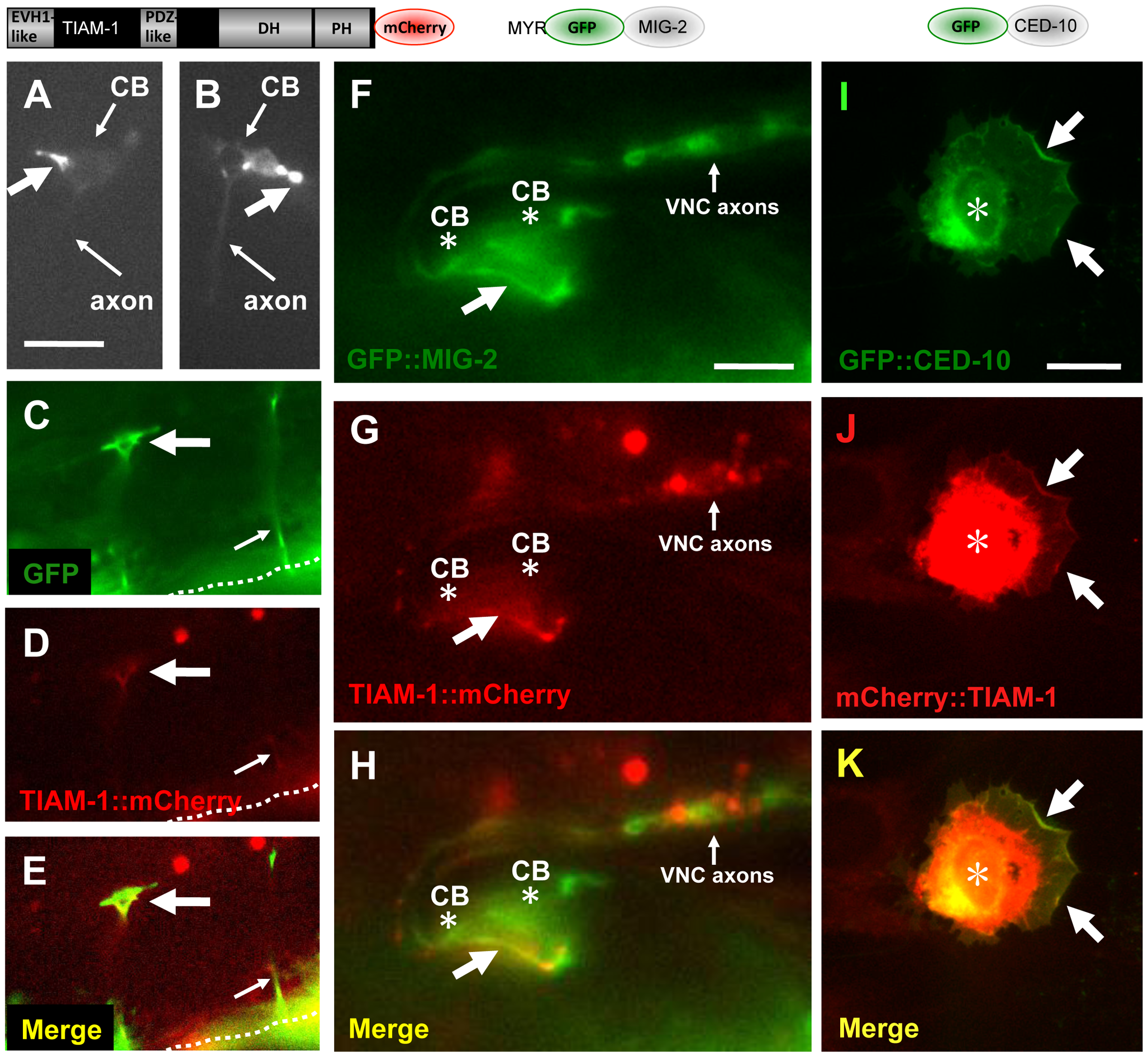 TIAM-1::mCherry is present in ectopic protrusions and growth cones and co-localizes with GFP::MIG-2 and GFP::CED-10.