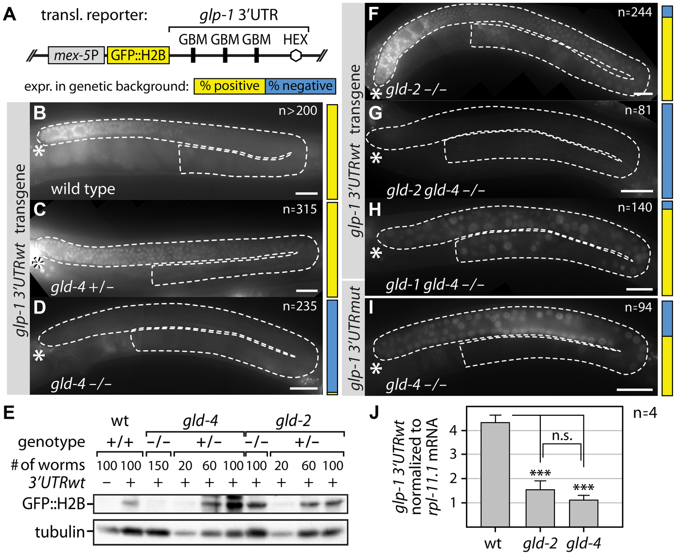 GLD-4 affects <i>glp-1</i> 3′UTR GFP reporter mRNA translation.
