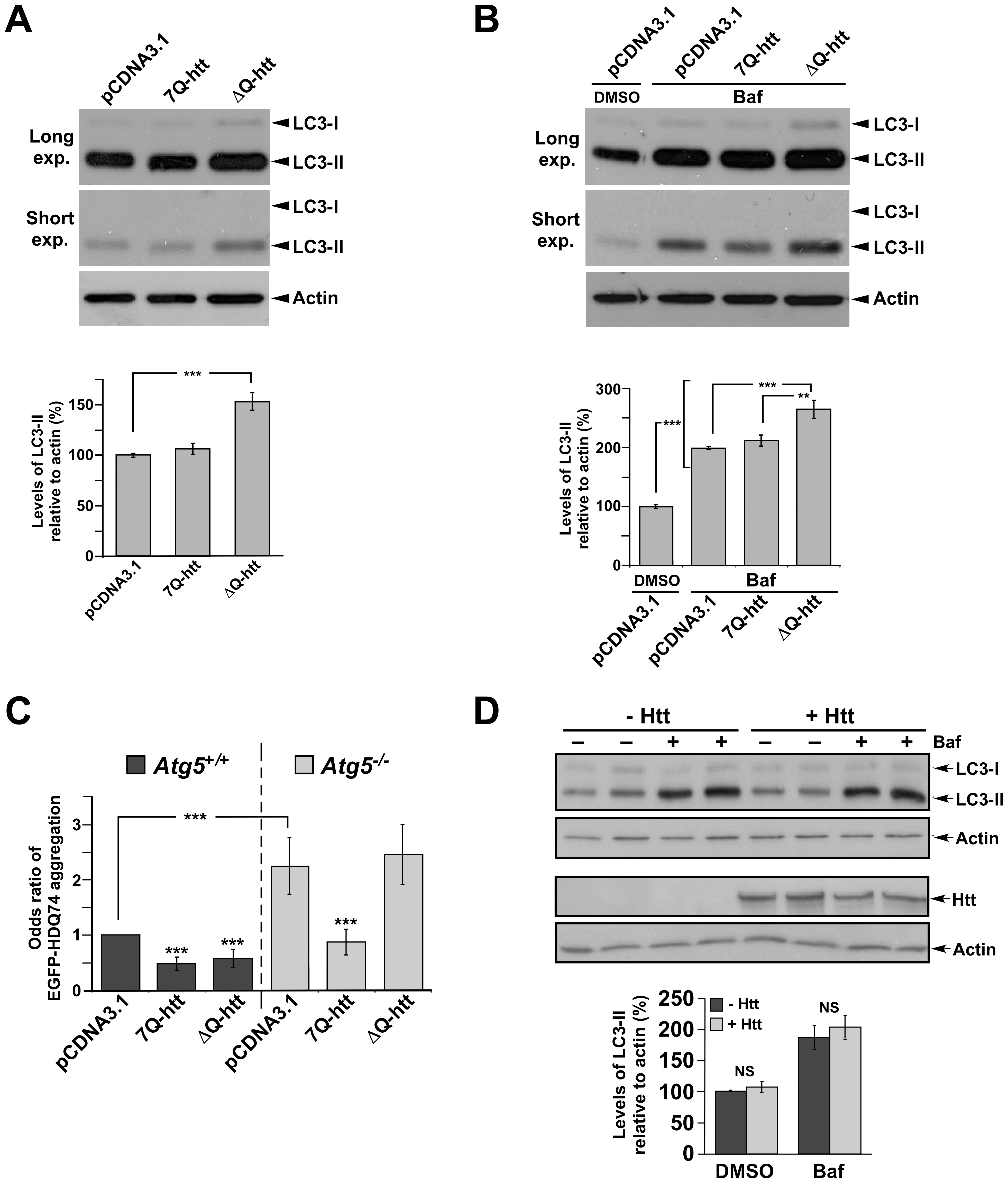 ΔQ-htt expression increases autophagosome synthesis and Atg5-dependent reduction of EGFP-74Q truncated htt aggregates in vitro.