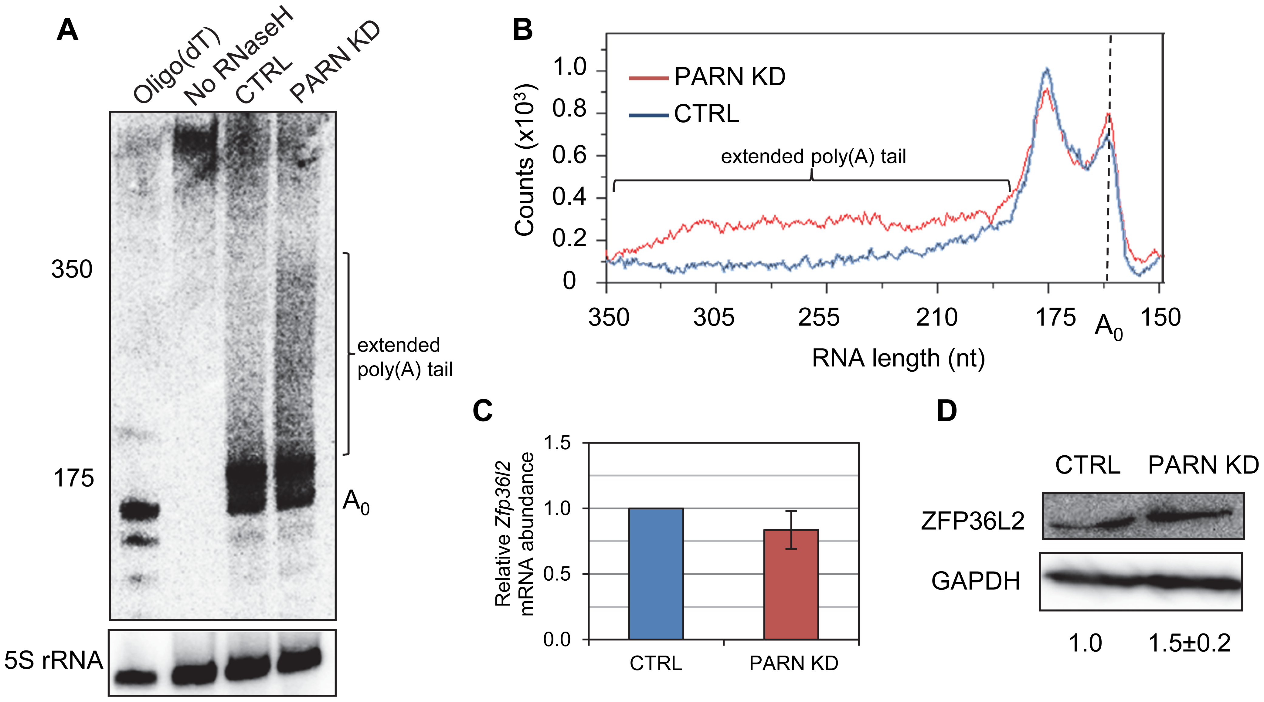 PARN modulates <i>Zfp36l2</i> poly(A) tail length to reduce expression of ZFP36L2 protein.