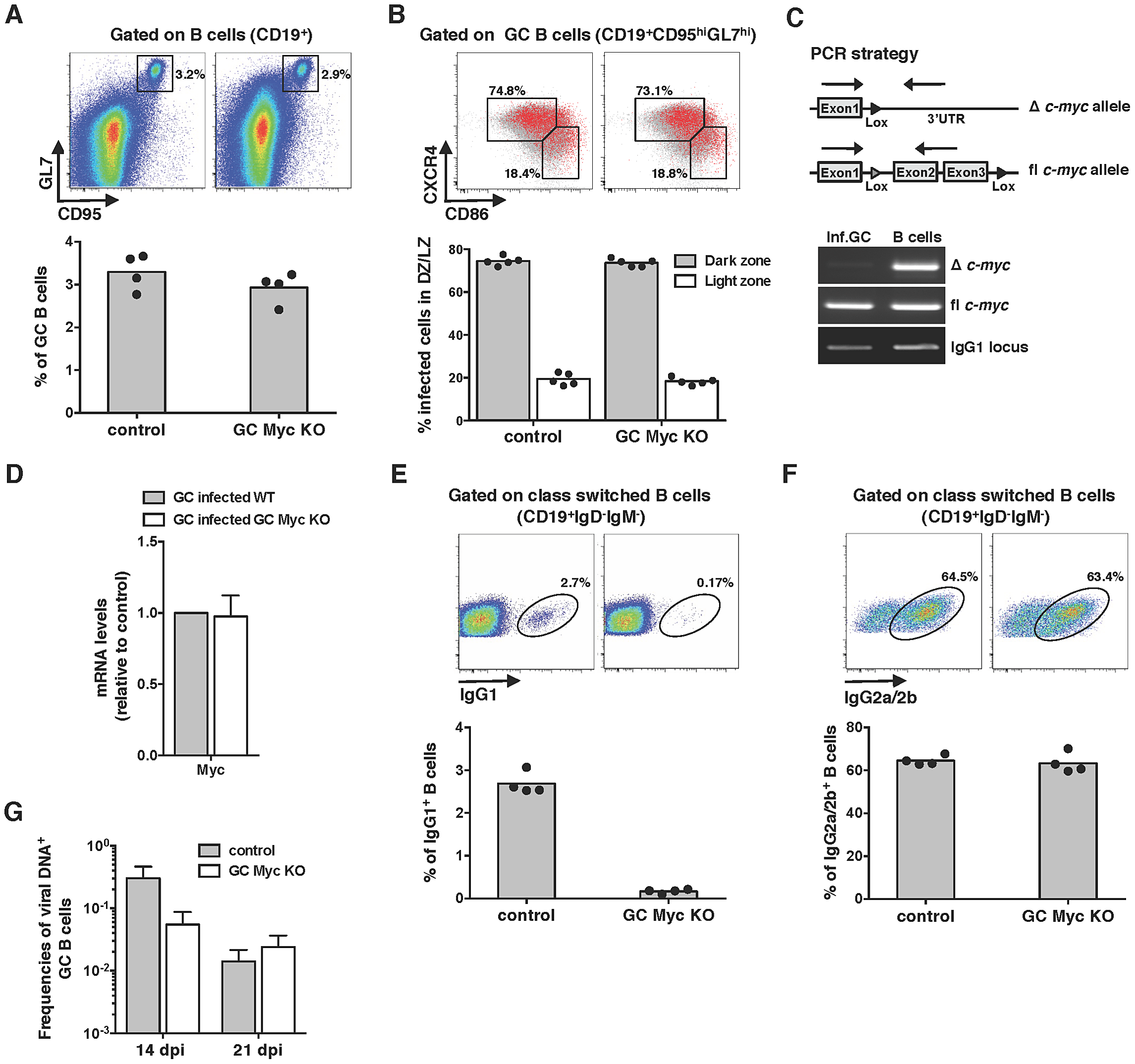 Myc is essential for the amplification of MuHV-4 infection in GC B-cells.