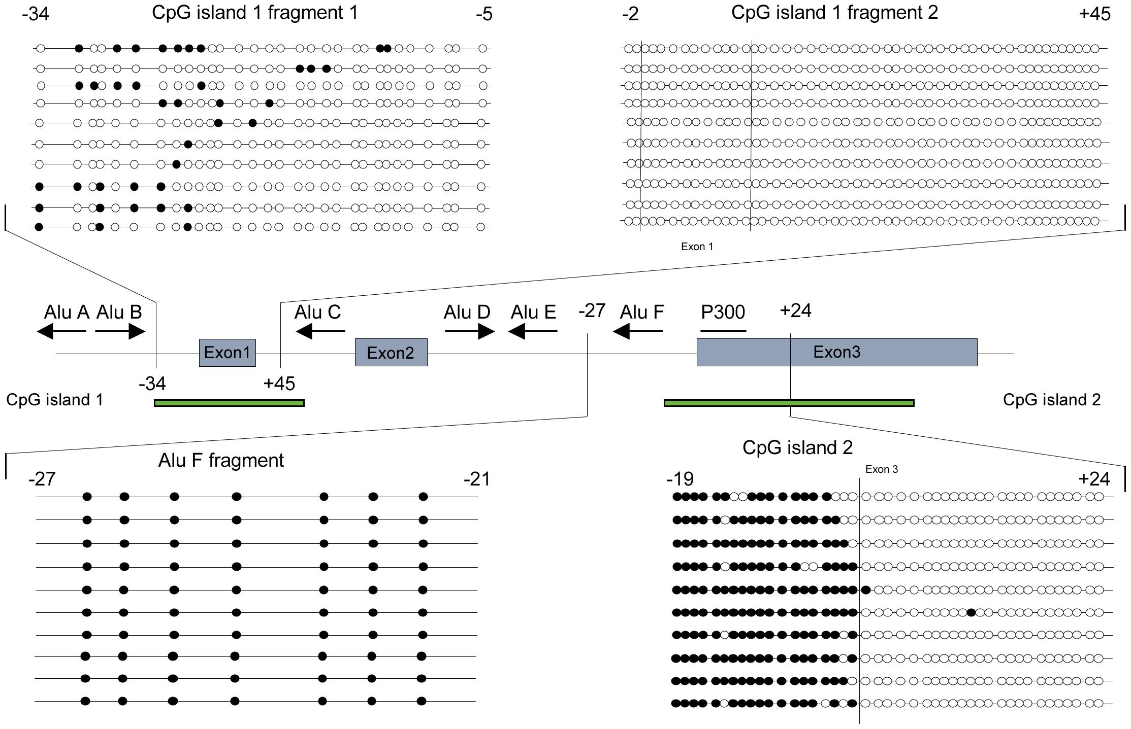 <i>POMC</i> CpG methylation pattern of CpG island 1 and 2.
