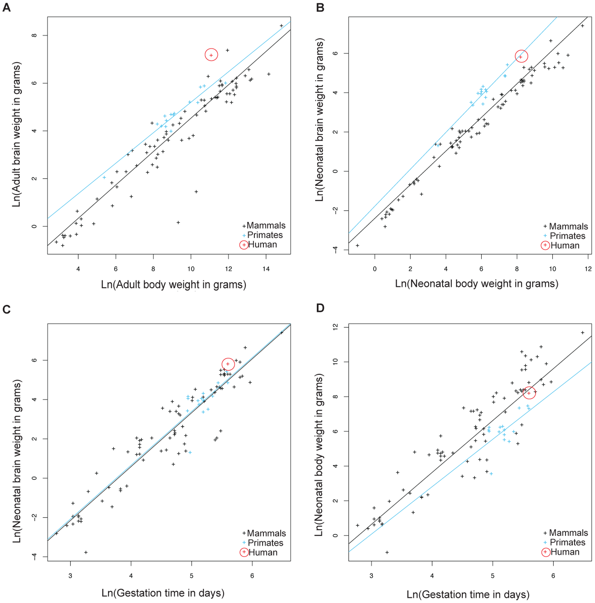 Allometric analysis of brain size, body size, and gestational length by linear regression.