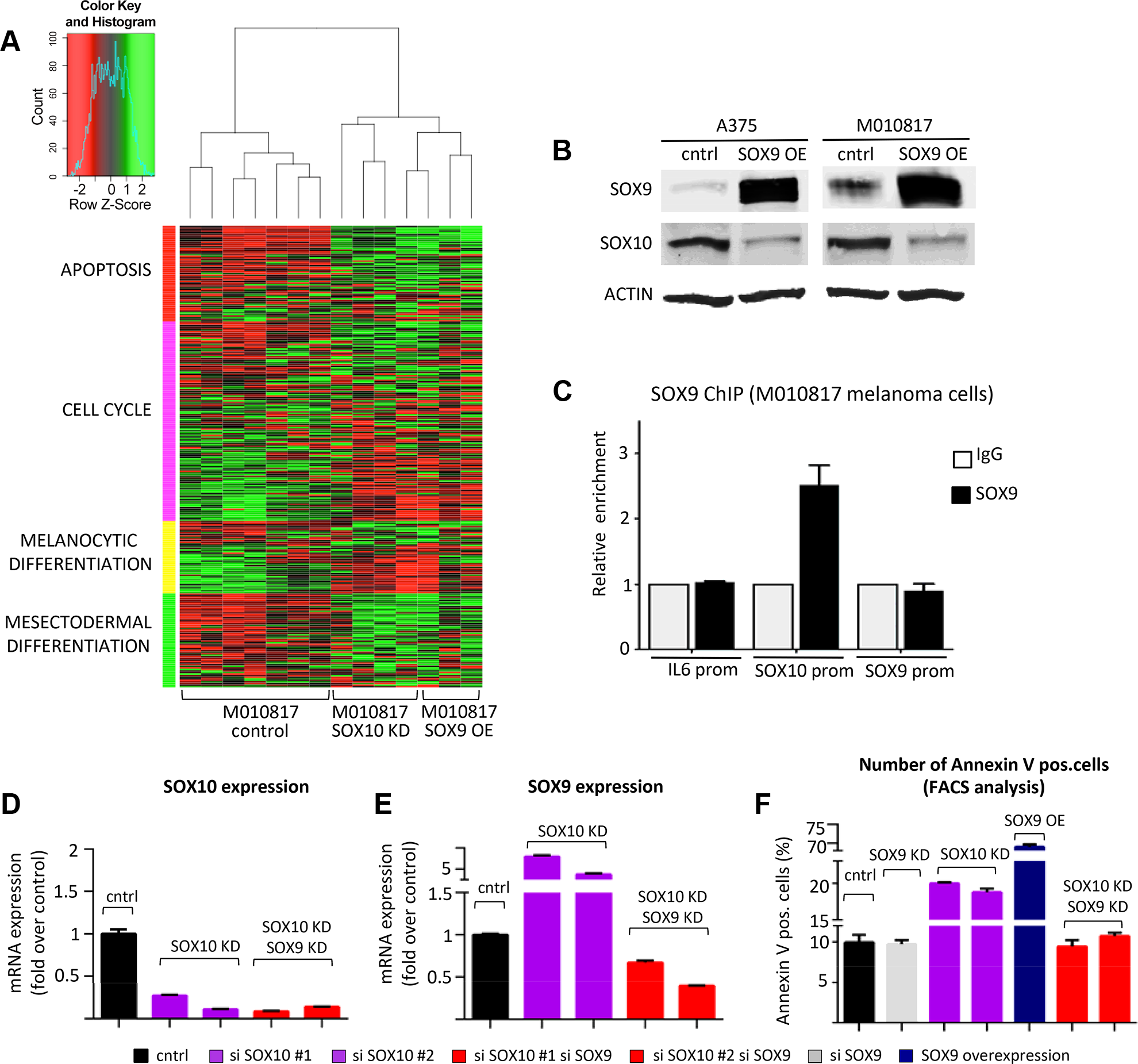 Experimental suppression of SOX9 expression rescues the effects of SOX10 deregulation in human melanoma cells.