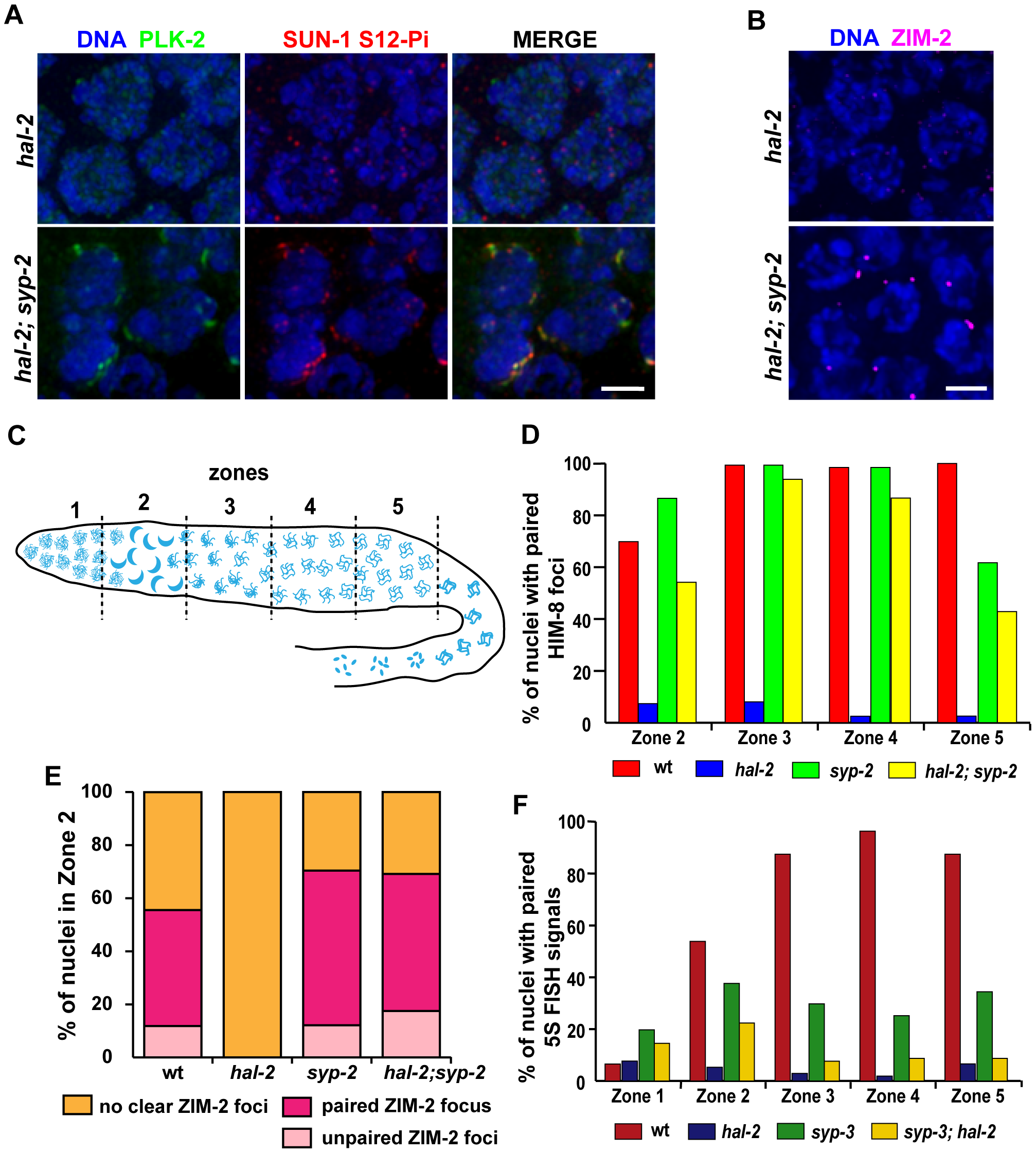 Removal of SYP proteins in <i>hal-2</i> mutants partially restores chromosome clustering, markers of PC-mediated chromosome movement, and homologous pairing.