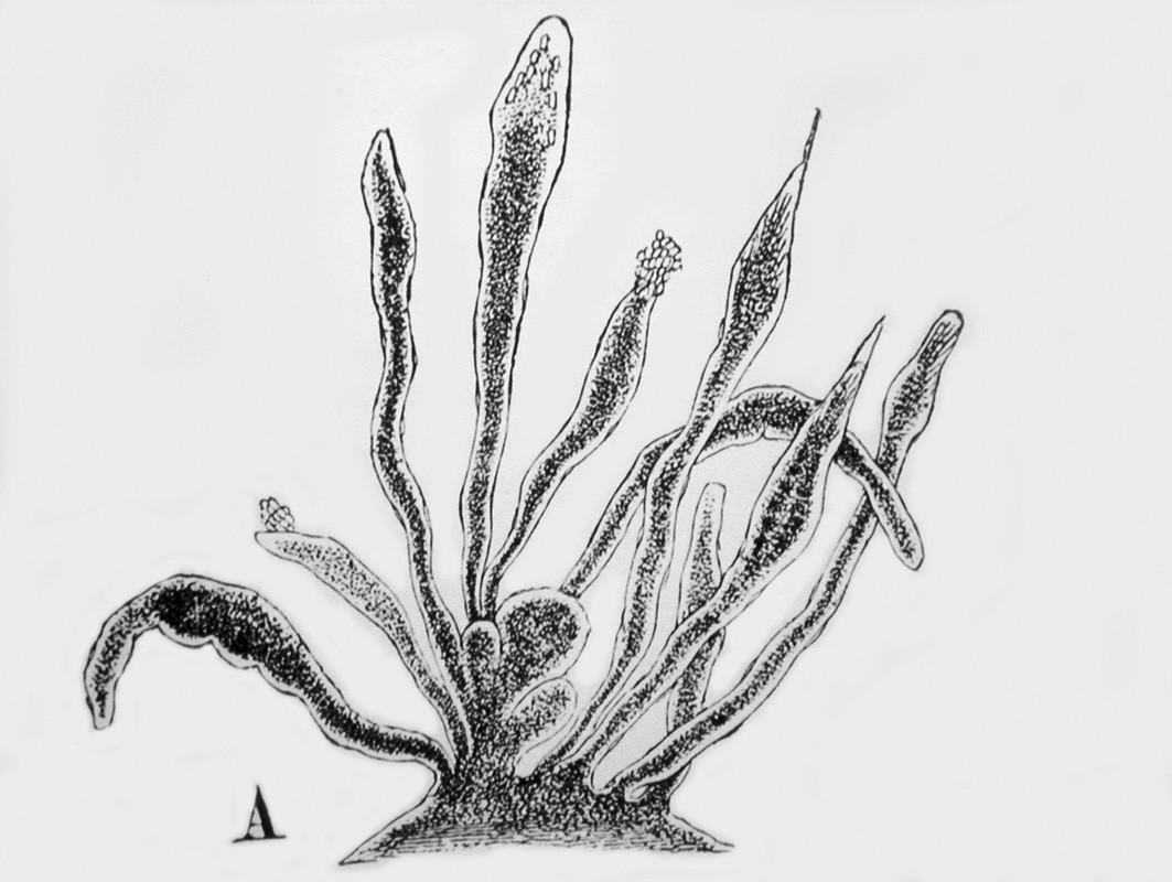 Kresba papilárního výrůstku na aortální chlopni podle mikroskopického obrazu (zvětš. 68x) z originální Lamblovy práce.