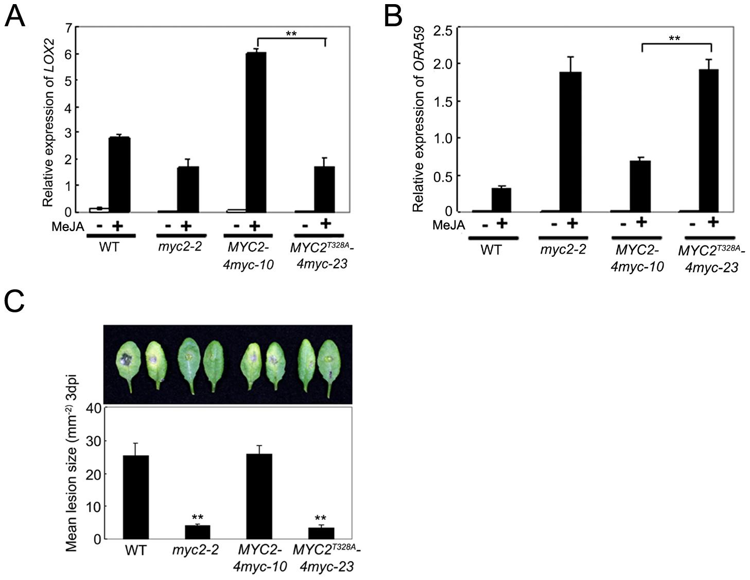Phosphorylation of MYC2 at Thr328 Affect Its Transcription Activity.