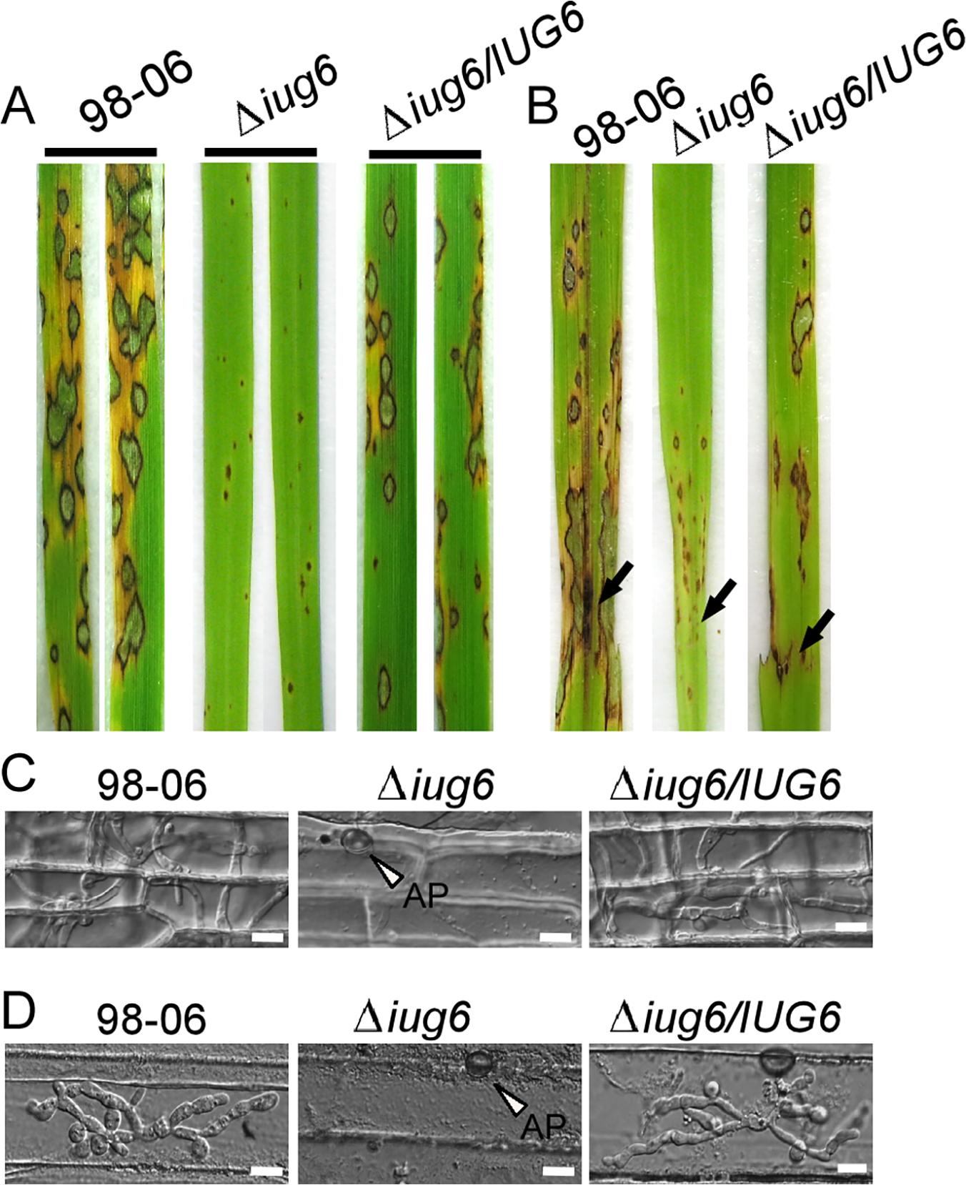 <i>IUG6</i> is involved in pathogenicity of <i>M</i>. <i>oryzae</i>.