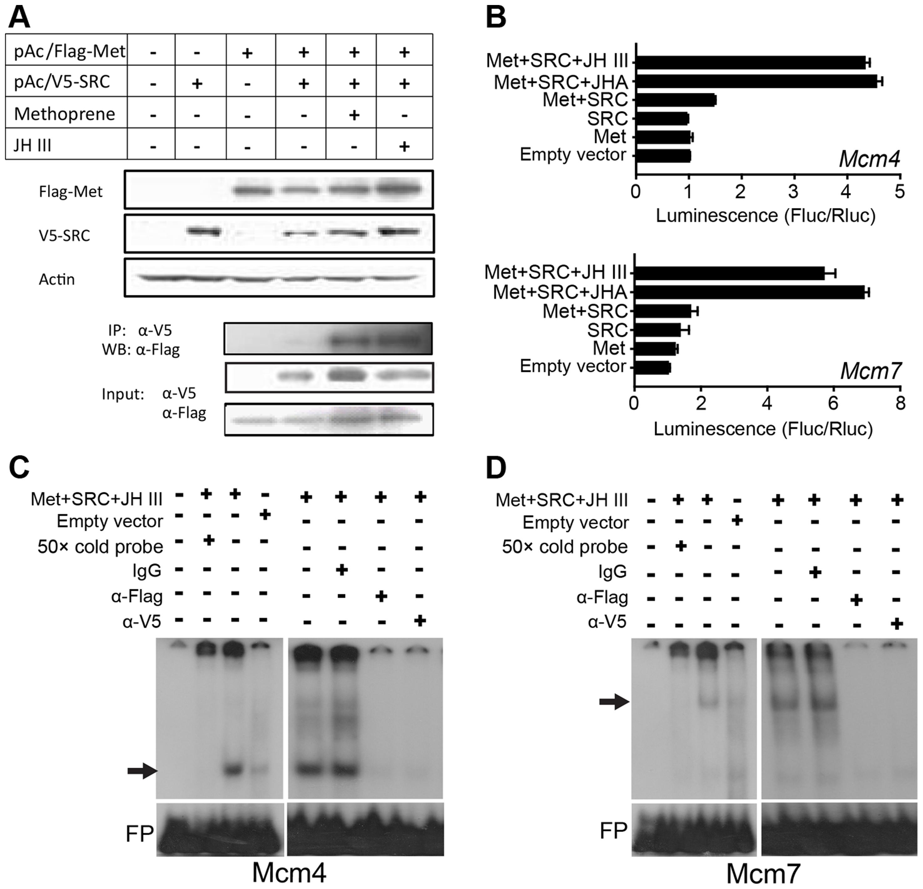 <i>Mcm4</i> and <i>Mcm7</i> transcription and the JH-receptor complex.