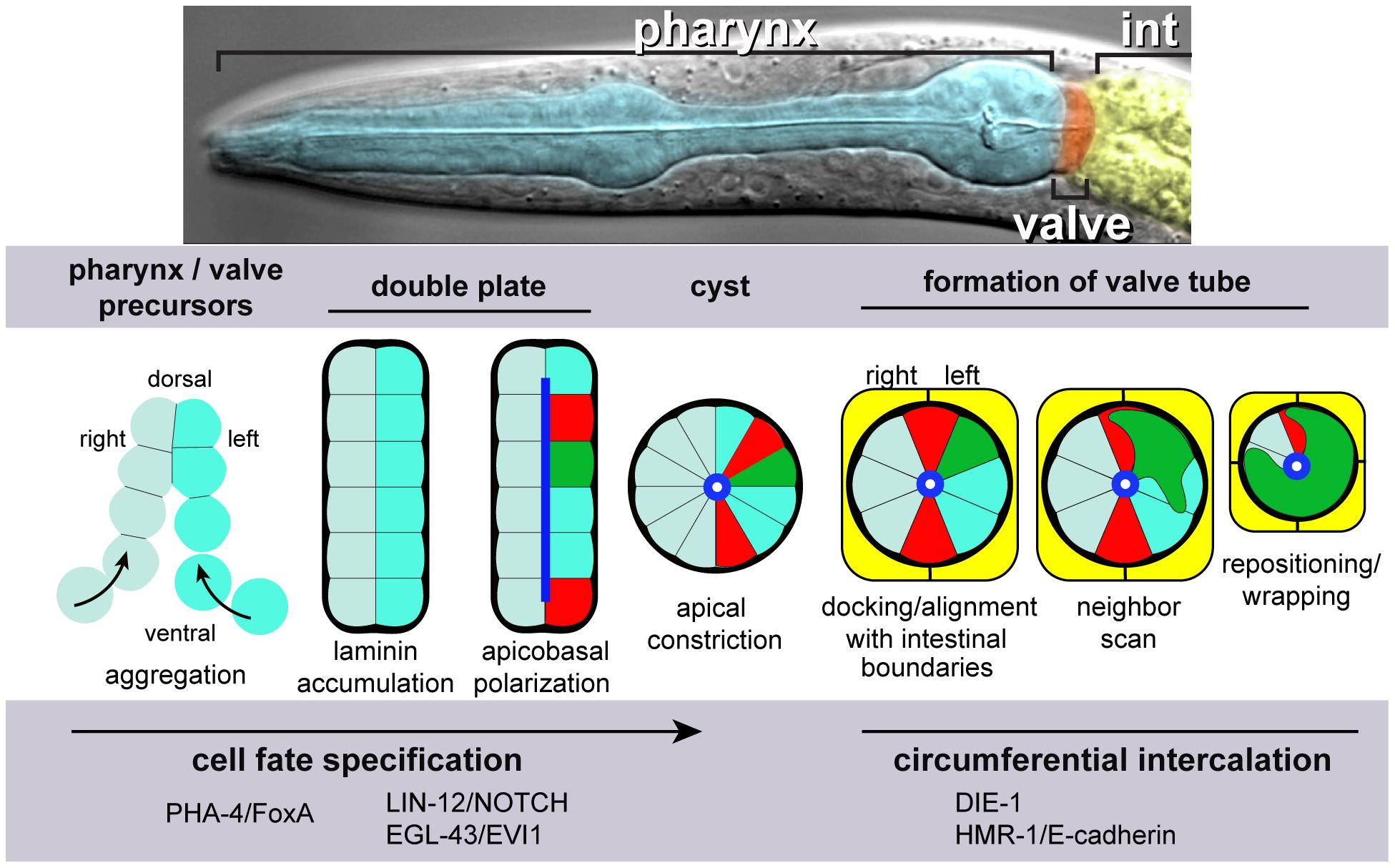Pharynx/valve morphogenesis.