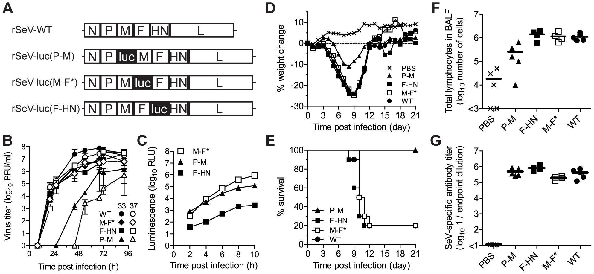 <i>In vitro</i> and <i>in vivo</i> phenotypes of luciferase-expressing Sendai viruses.