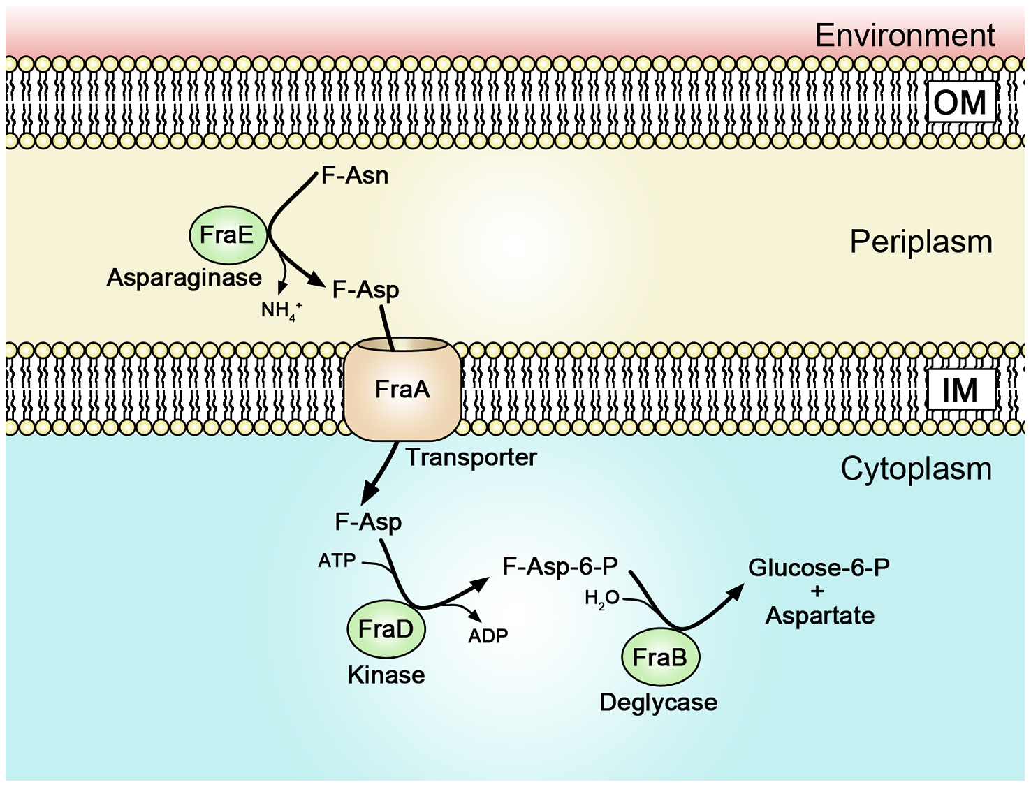A proposed model of Fra protein localization and functions.