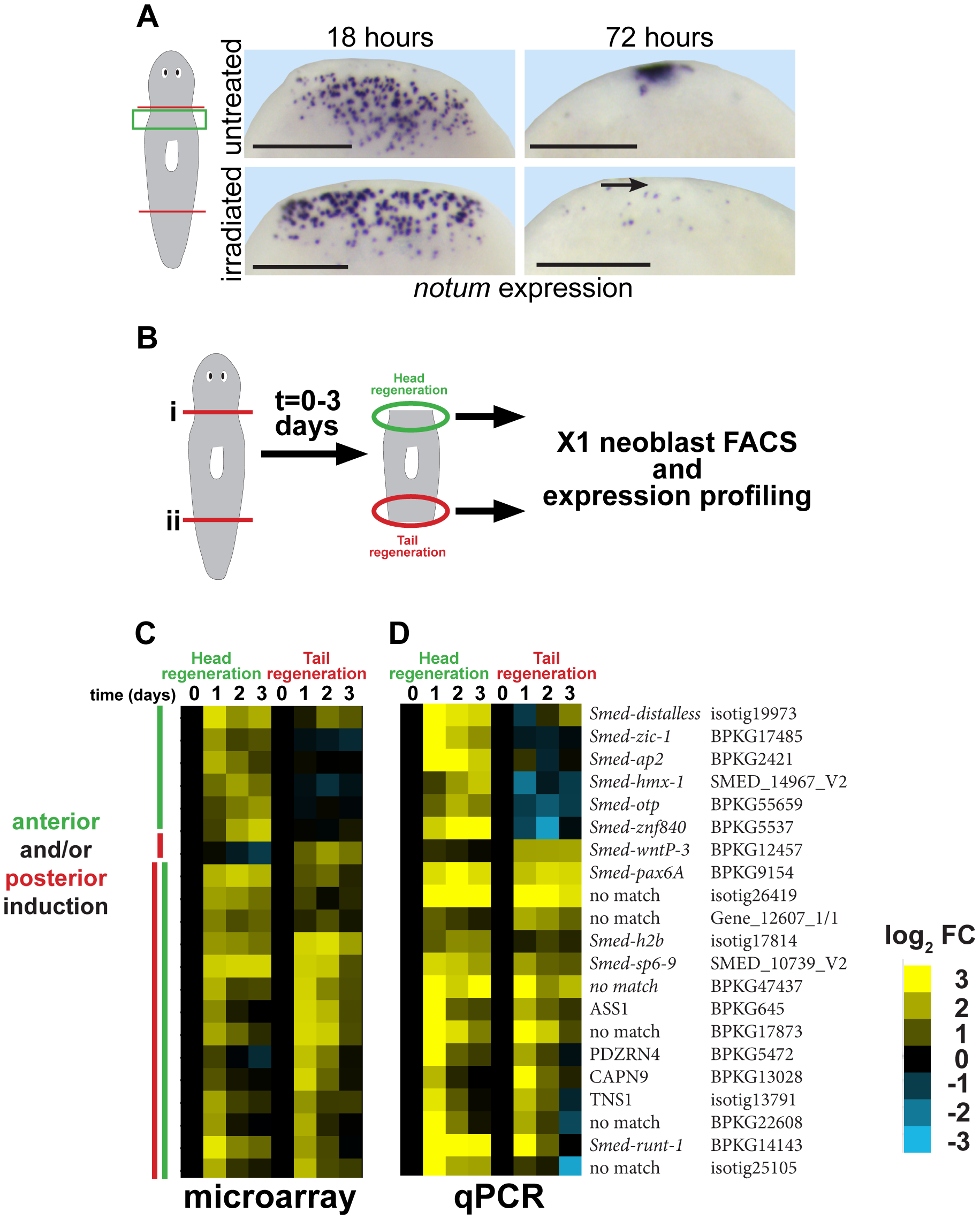 Strategy for identifying genes required for neoblast-dependent formation of the anterior pole.