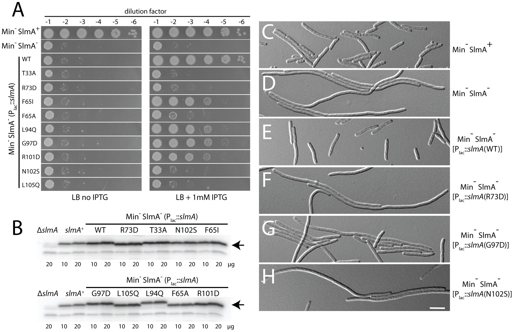 Nucleoid occlusion activity of the SlmA variants.
