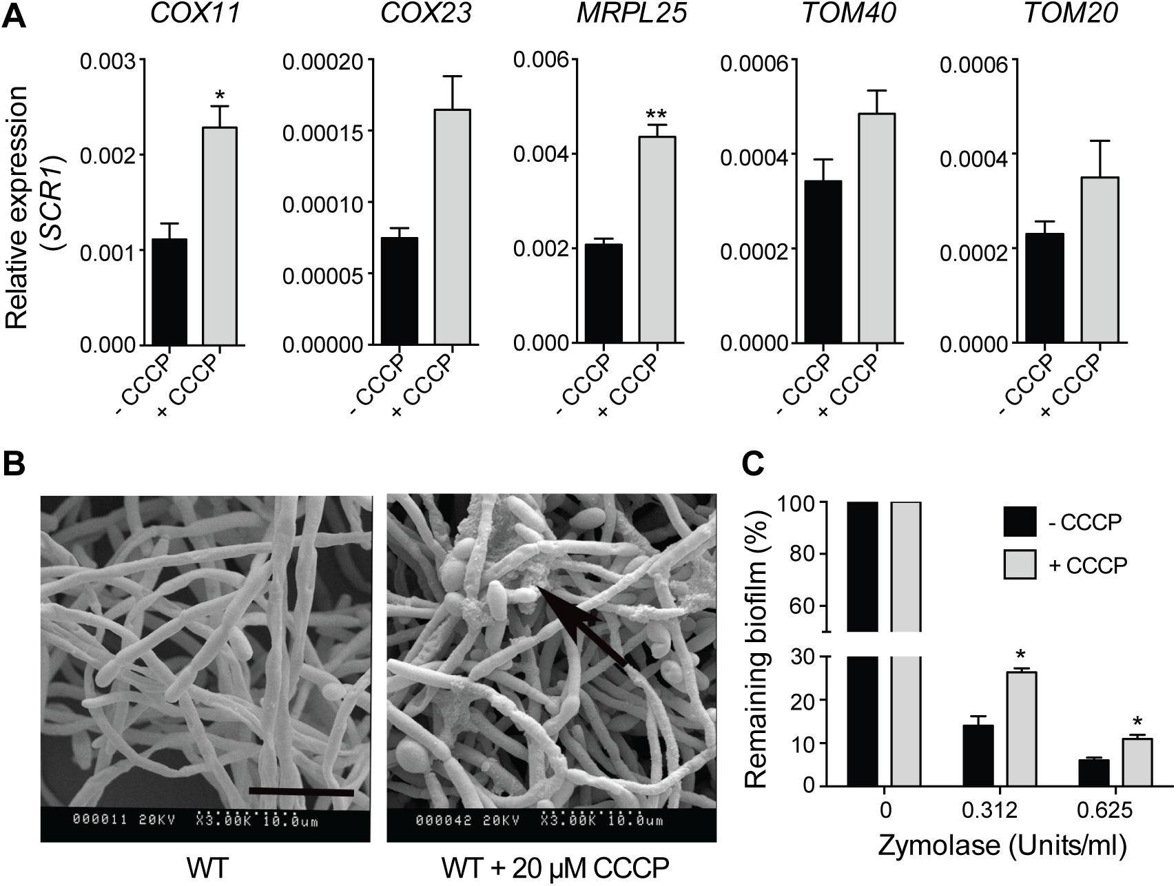 Uncoupling of mitochondrial oxidative phosphorylation stimulates biofilm matrix production.
