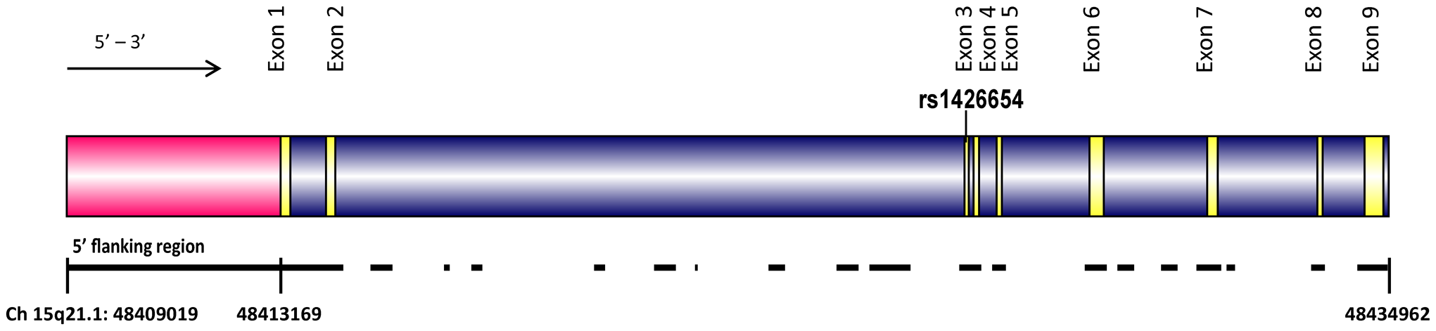 The structure of the human <i>SLC24A5</i> gene (Chromosome 15q21.1, 48409019 to 48434692).